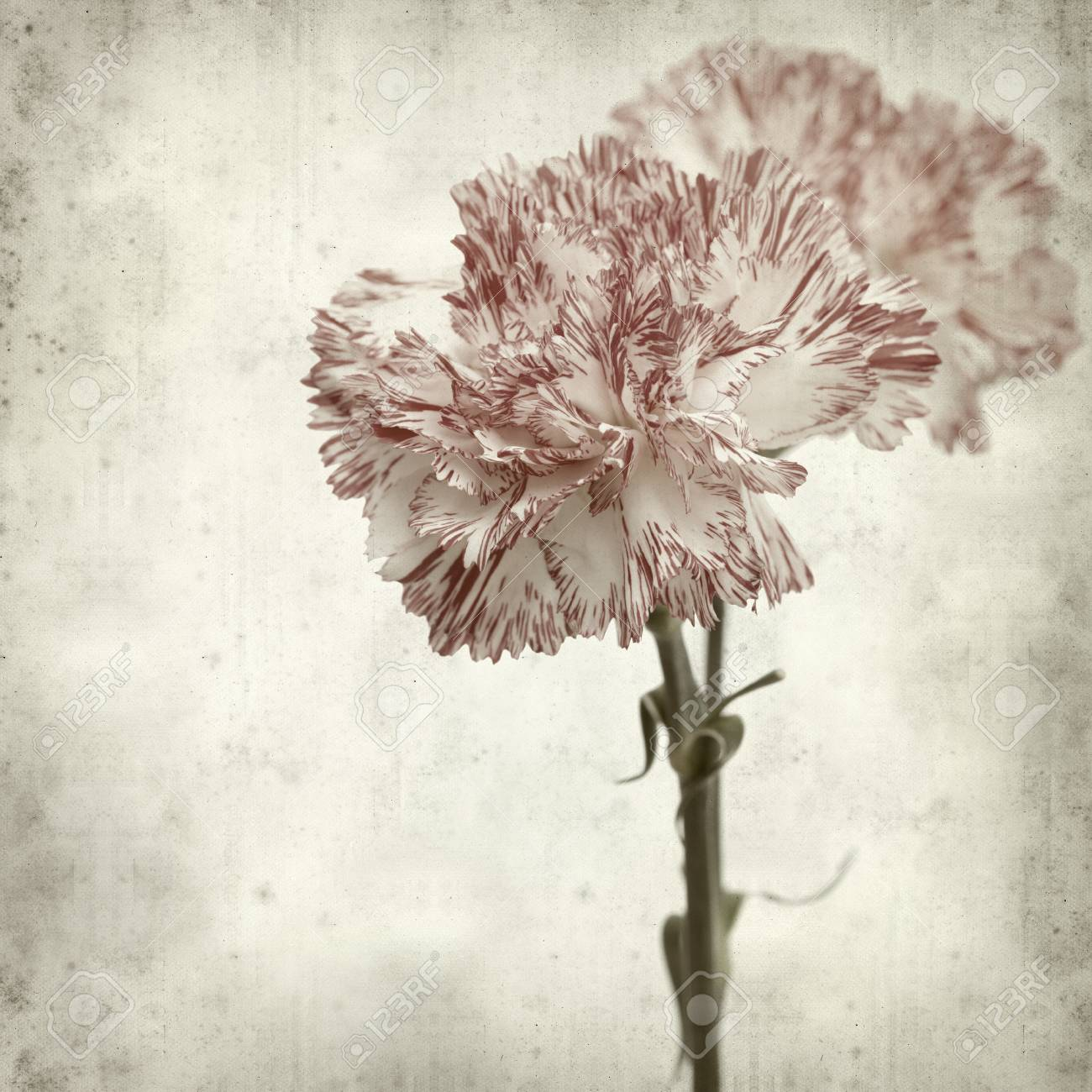 Textured Old Paper Background With White And Red Carnation Flower