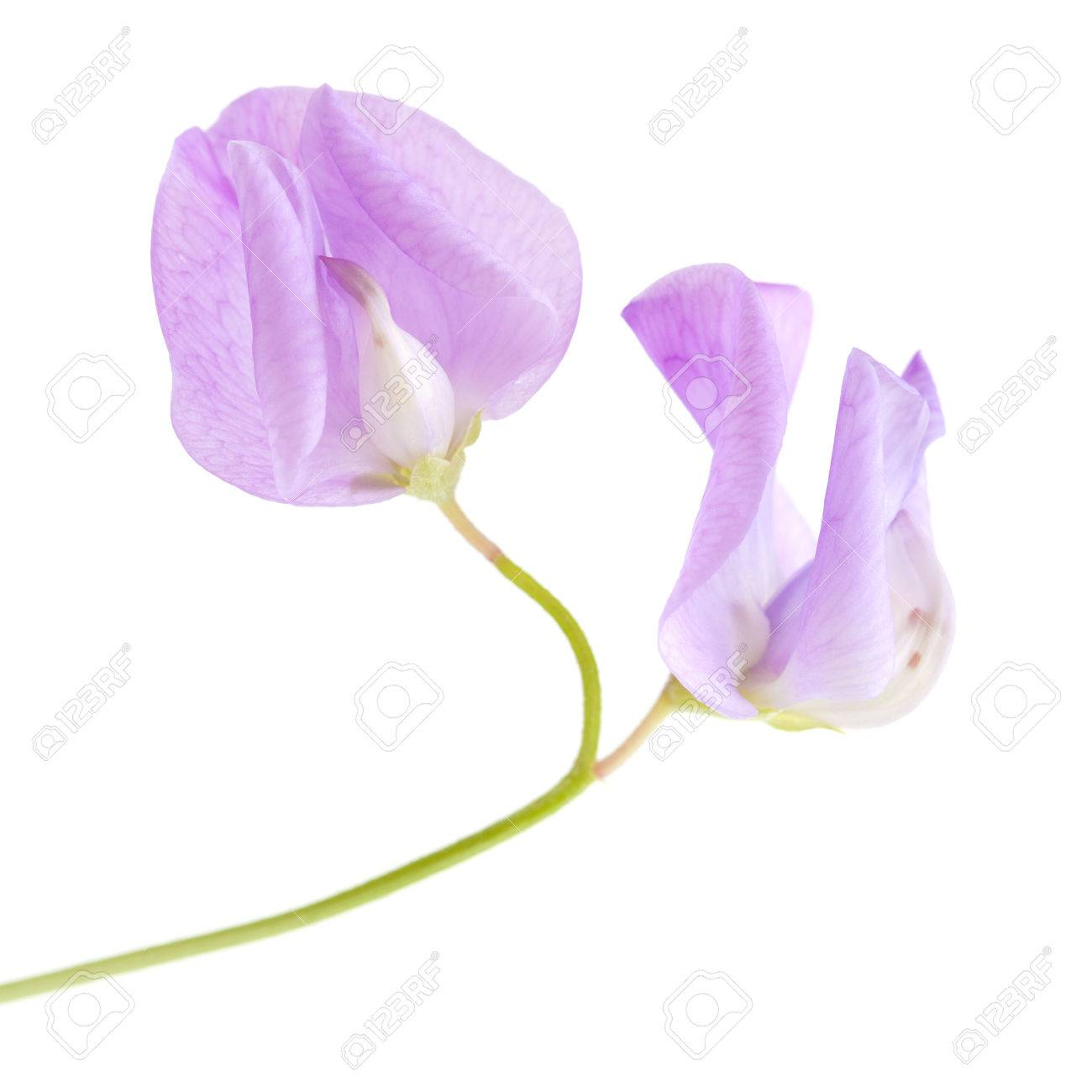 Pale Lilac Sweet Pea Flower Isolated On White Stock Photo Picture