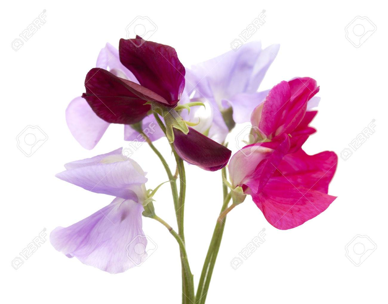 Sweet pea flowers of different colors small posy isolated on stock photo sweet pea flowers of different colors small posy isolated on white mightylinksfo