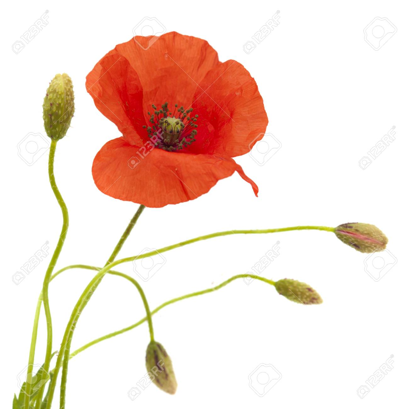 Red Poppy Flower And Buds Isolated On White Background Stock Photo