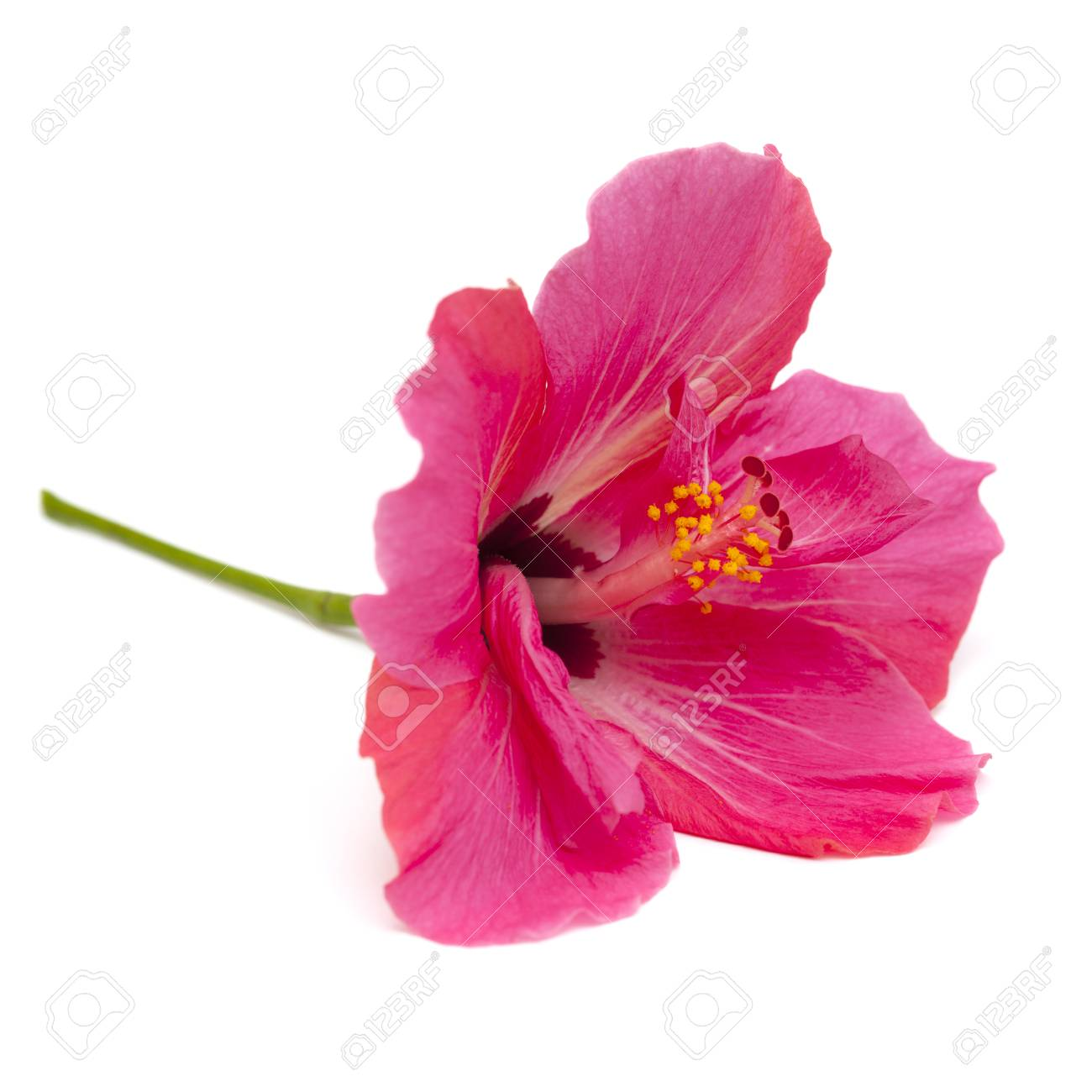 Single pink hibiscus flower isolated on white background stock photo single pink hibiscus flower isolated on white background stock photo 99752728 izmirmasajfo