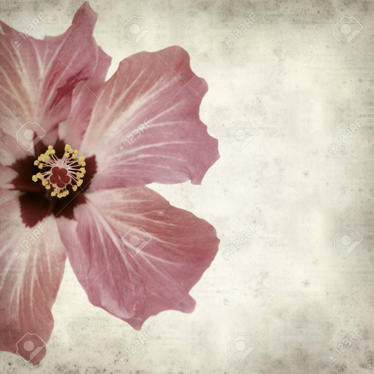 Textured Old Paper Background With Pink Hibiscus Flower Stock Photo