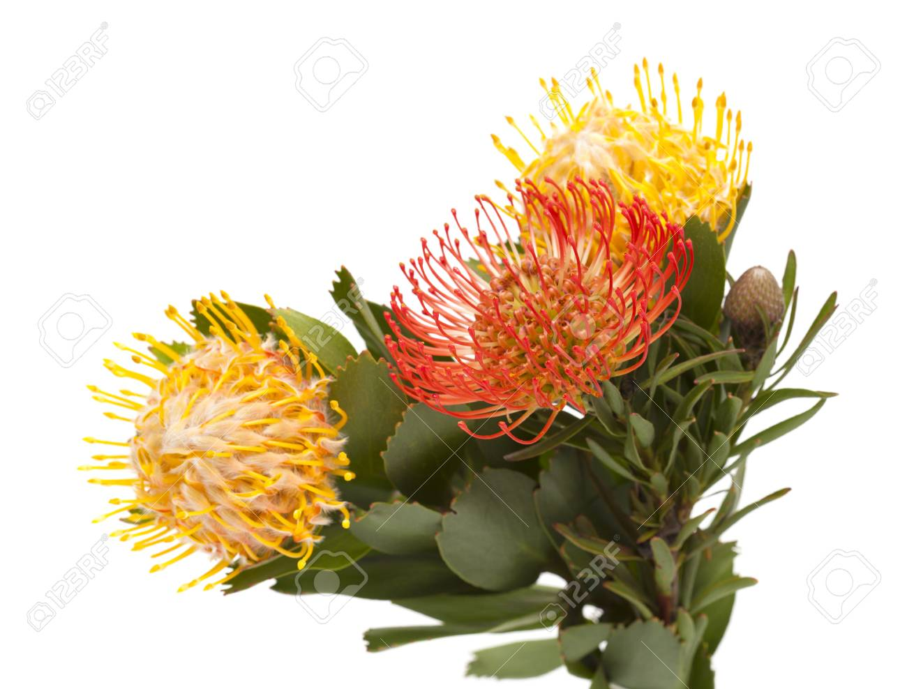 Red And Yellow Leucospermum Pincushion Protea Isolated On White