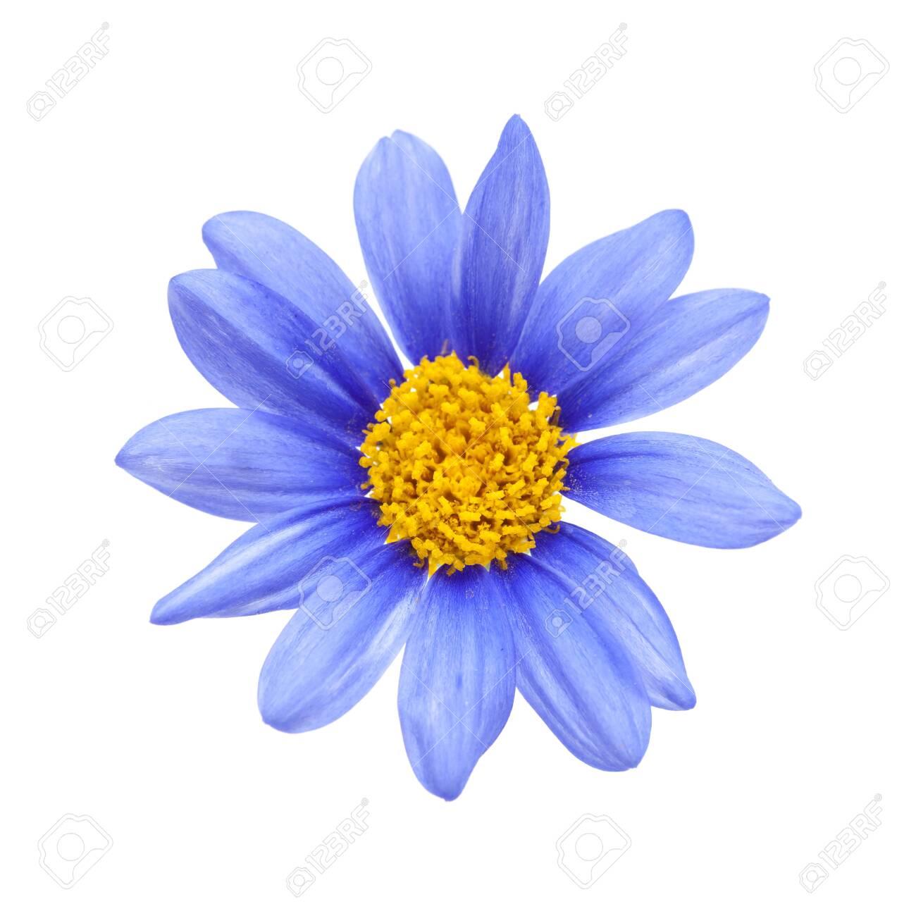 blue daisy bush Felicia amelloides flower isolated on white - 122983150