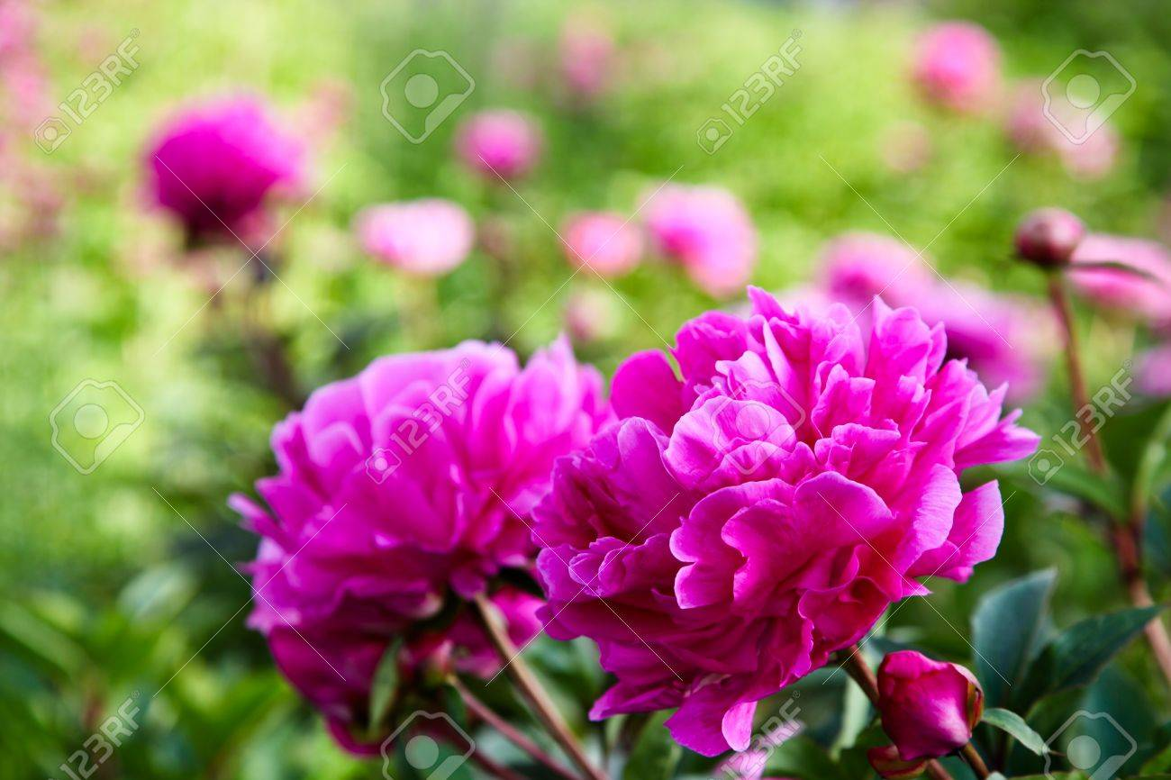 Brilliant pink peony flowers in an English countryside garden with a blurred background. Stock Photo - 11784521