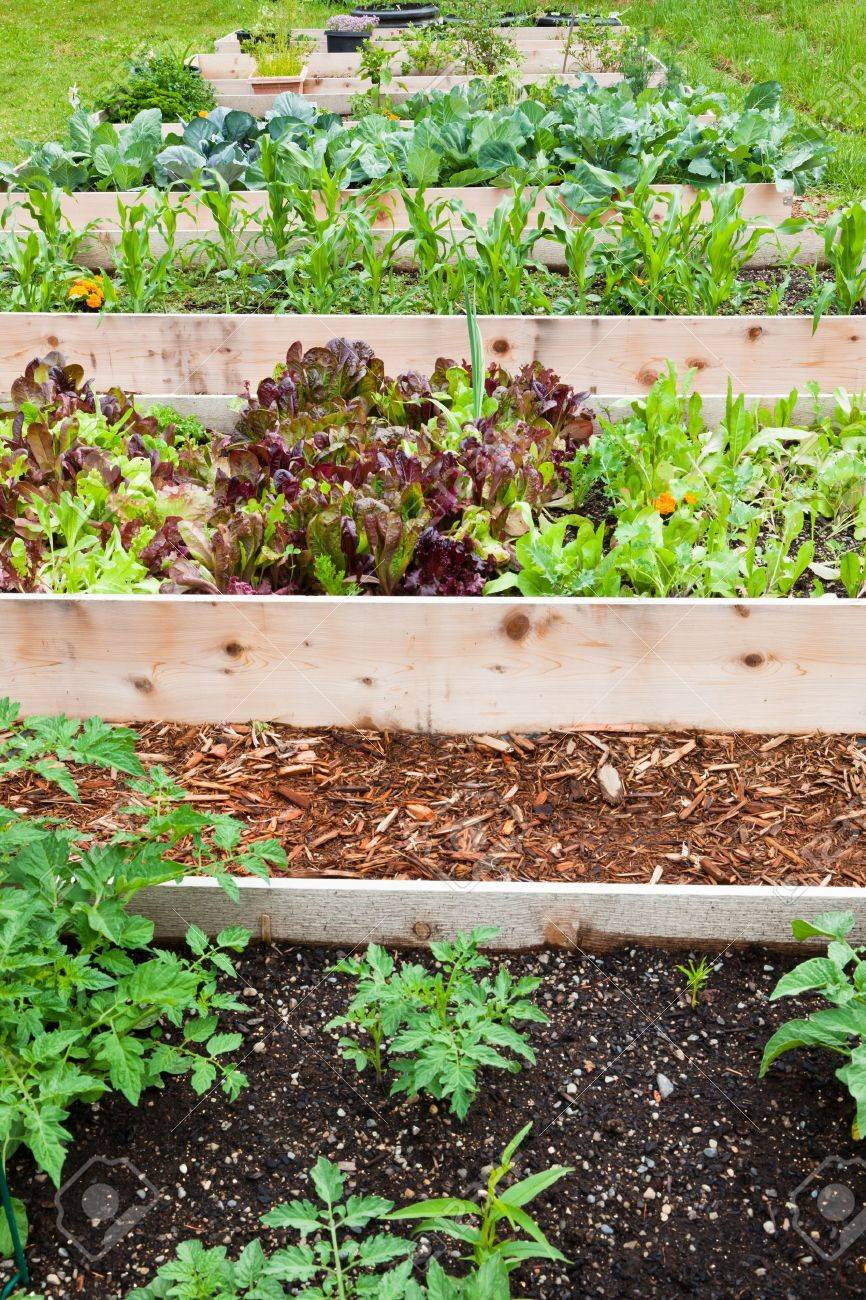 A row of raised beds made of wood boards create a vegetable garden filled with young plants. - 13292092