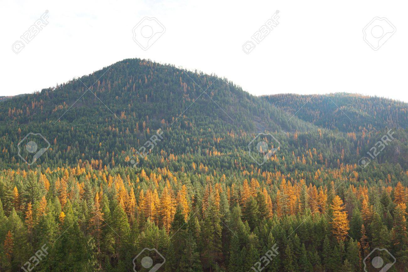 Golden Tamarack trees in fall sprinkled among evergreens covering a mountainside, and lit up by the afternoon sun. Isolated white sky. Stock Photo - 16681921