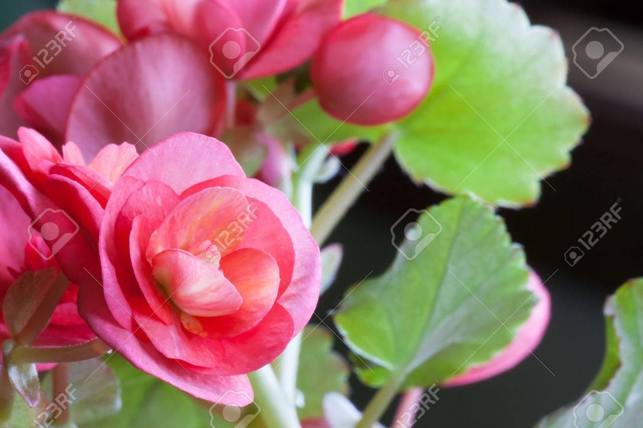 Fleurs Roses Avec Des Rayures Jaunes Lumineux Dans Le Centre D Une