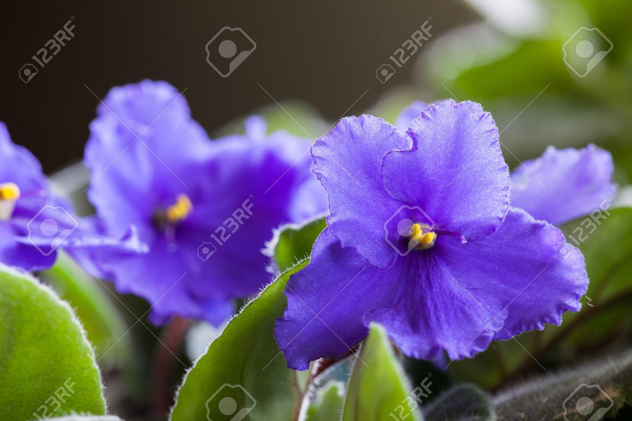 Les Petites Fleurs Violettes Delicates D Une Plante D Interieur