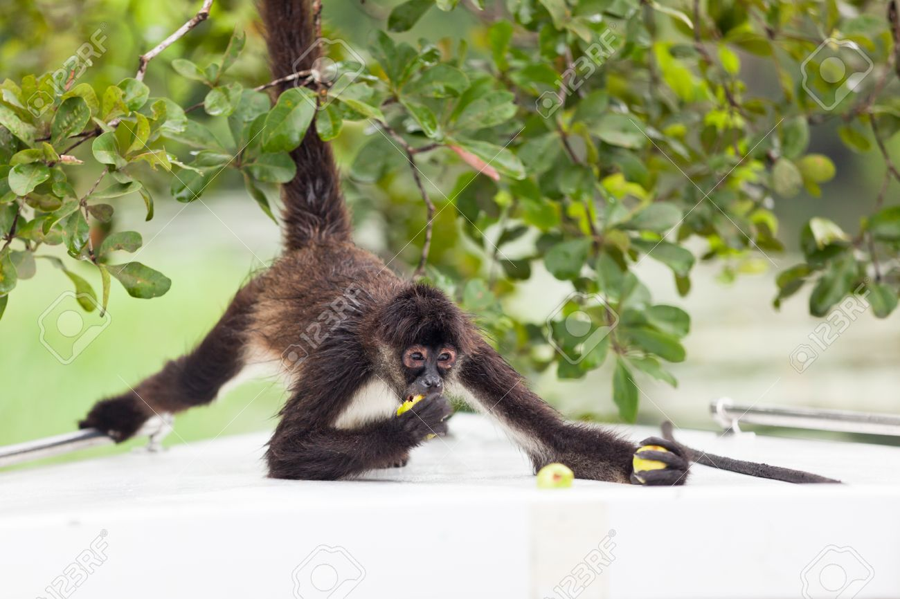 A Brown Spider Monkey Holds On To A Tree As He Eats Guava Fruit On The