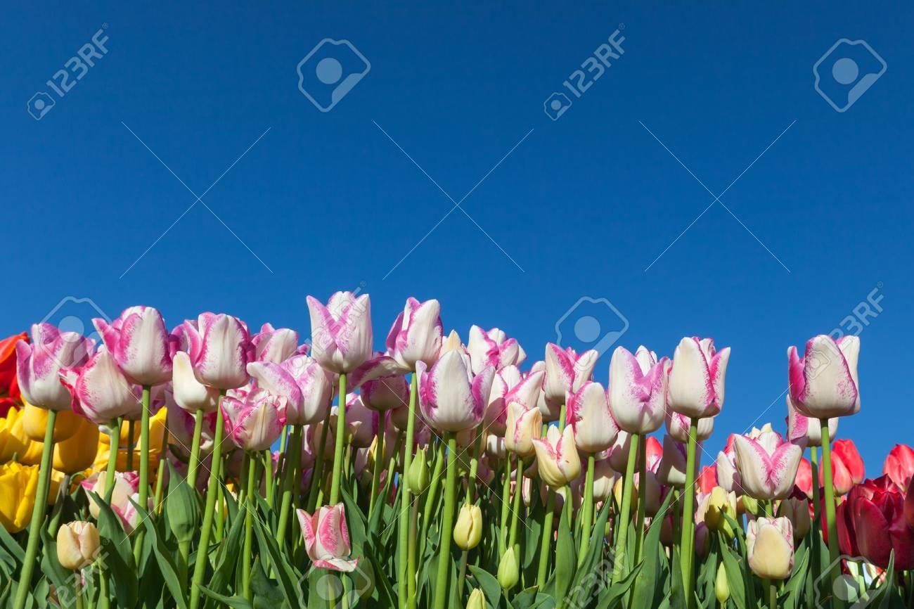 afb2af49c15b Foto de archivo - Una fila de flores de tulipán de primavera en varios  colores creando una pared contra un fondo de cielo azul claro.