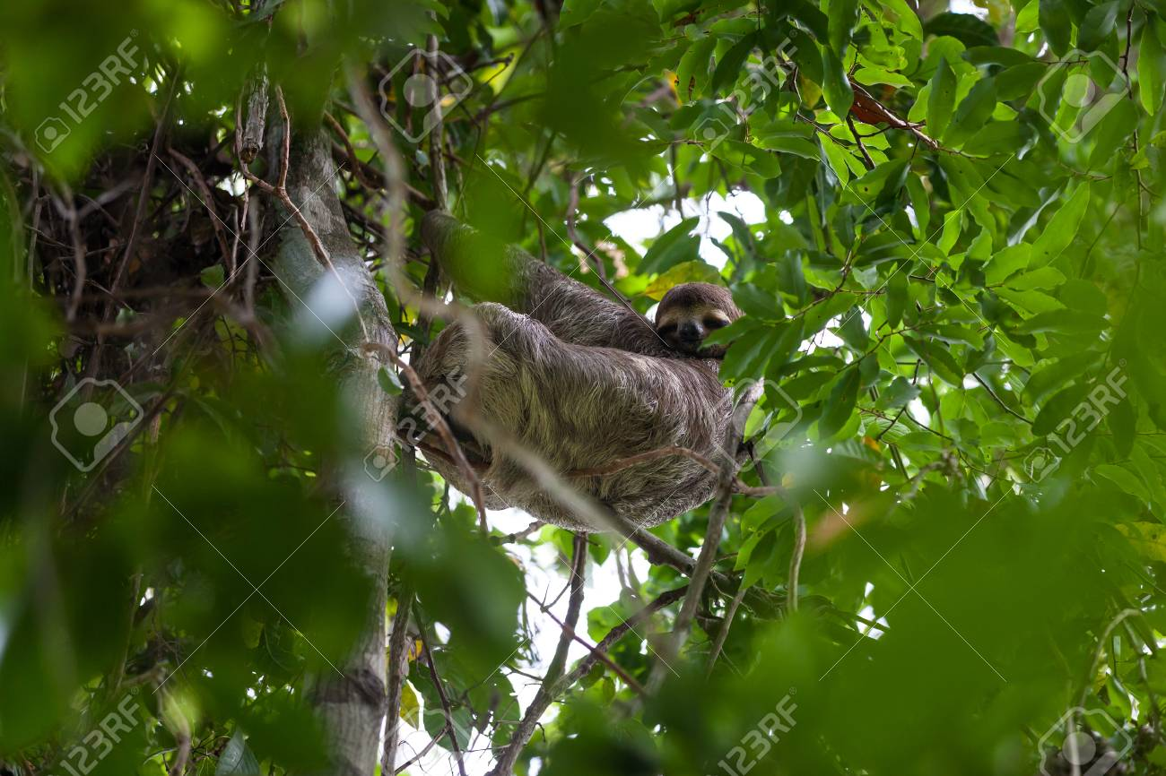 A Three Toed Sloth Hanging From A Tree In Manuel Antonio National