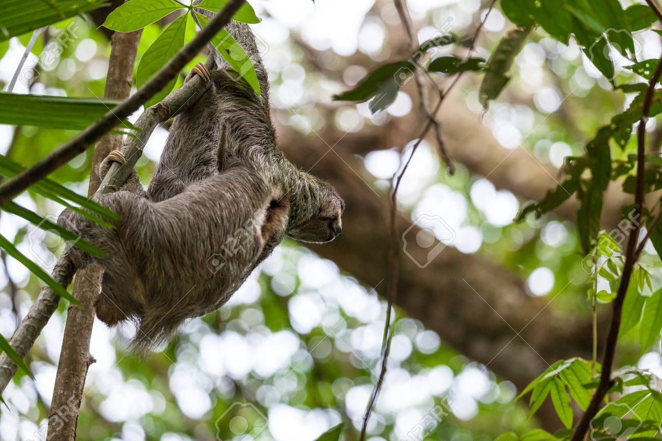 Three Toed Sloth Hanging From A Tree In Manuel Antonio Costa