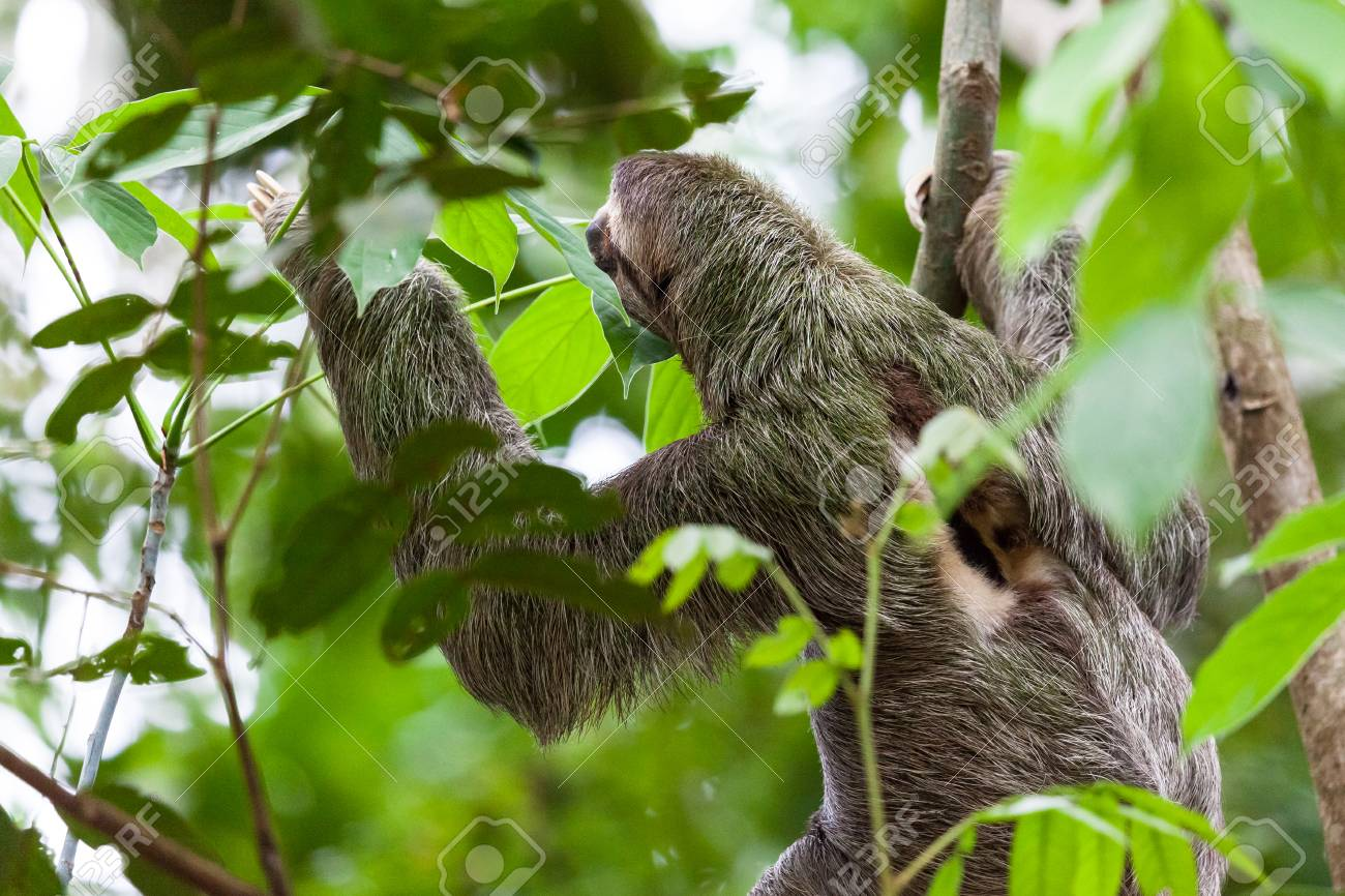A Three Toed Sloth Hanging From A Tree In Manuel Antonio Costa