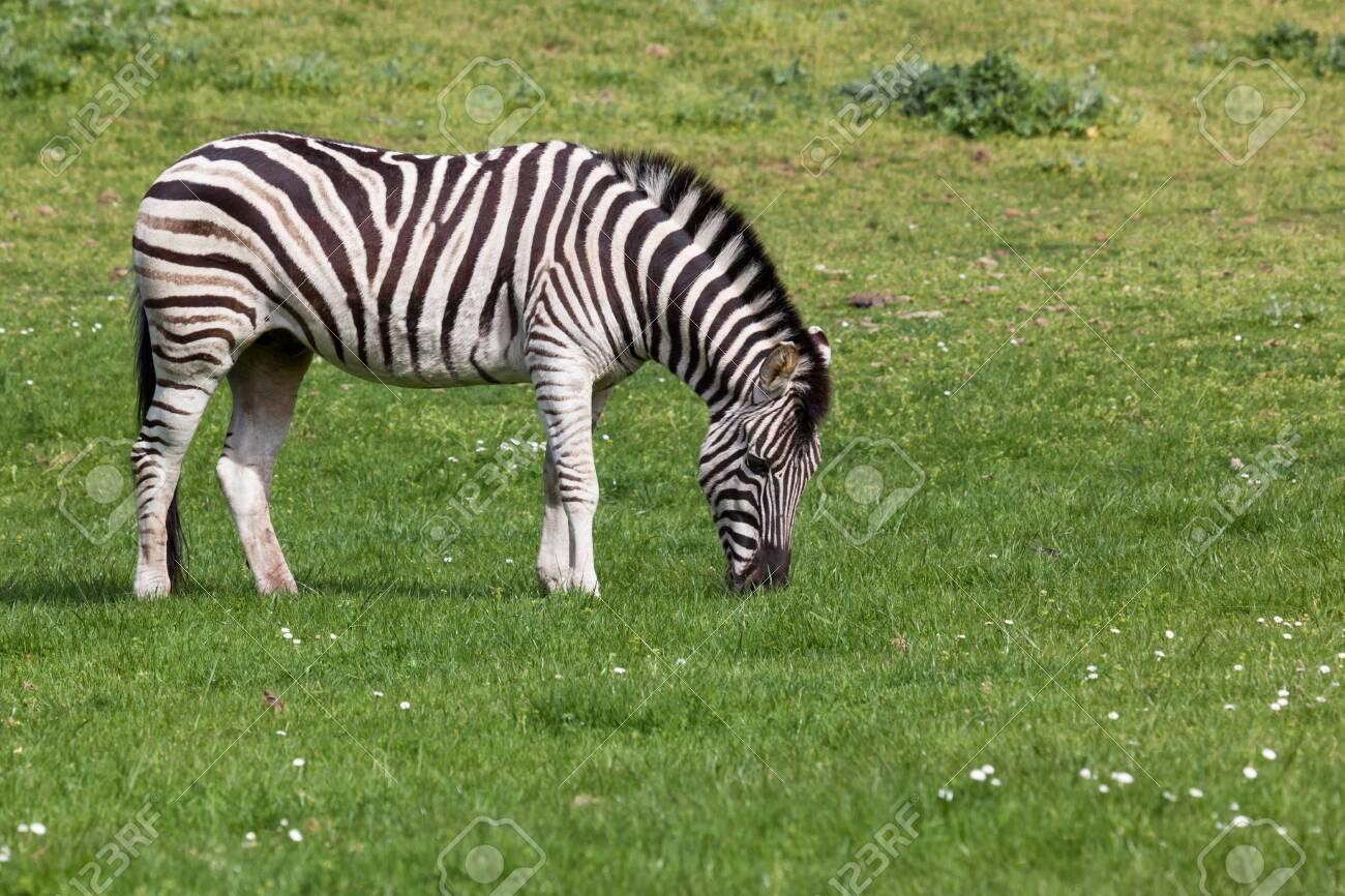 A black and white zebra grazes on spring grass in the sunshine. - 115956004