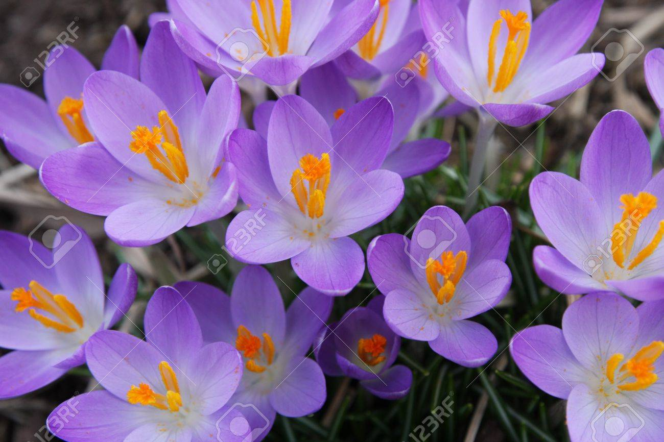 Purple crocus flowers blooming in the spring stock photo picture purple crocus flowers blooming in the spring stock photo 12971391 dhlflorist Choice Image