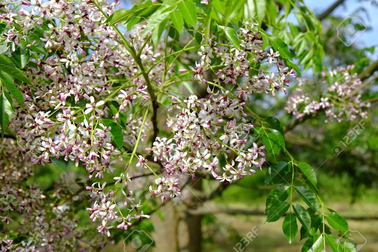 a sandalwood tree