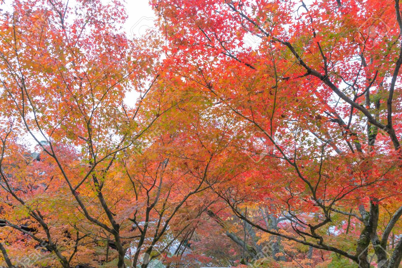 Red maple leaves or fall foliage in colorful autumn season near Fujikawaguchiko, Yamanashi. Five lakes. Trees in Japan with blue sky. Nature landscape background - 136562983