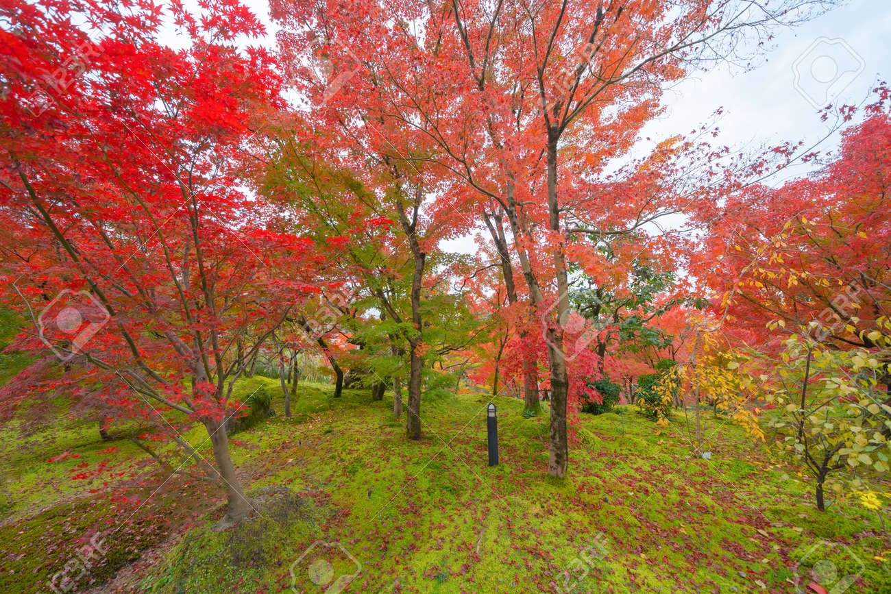 Red maple leaves or fall foliage in colorful autumn season near Fujikawaguchiko, Yamanashi. Five lakes. Trees in Japan with blue sky. Nature landscape background - 136603162