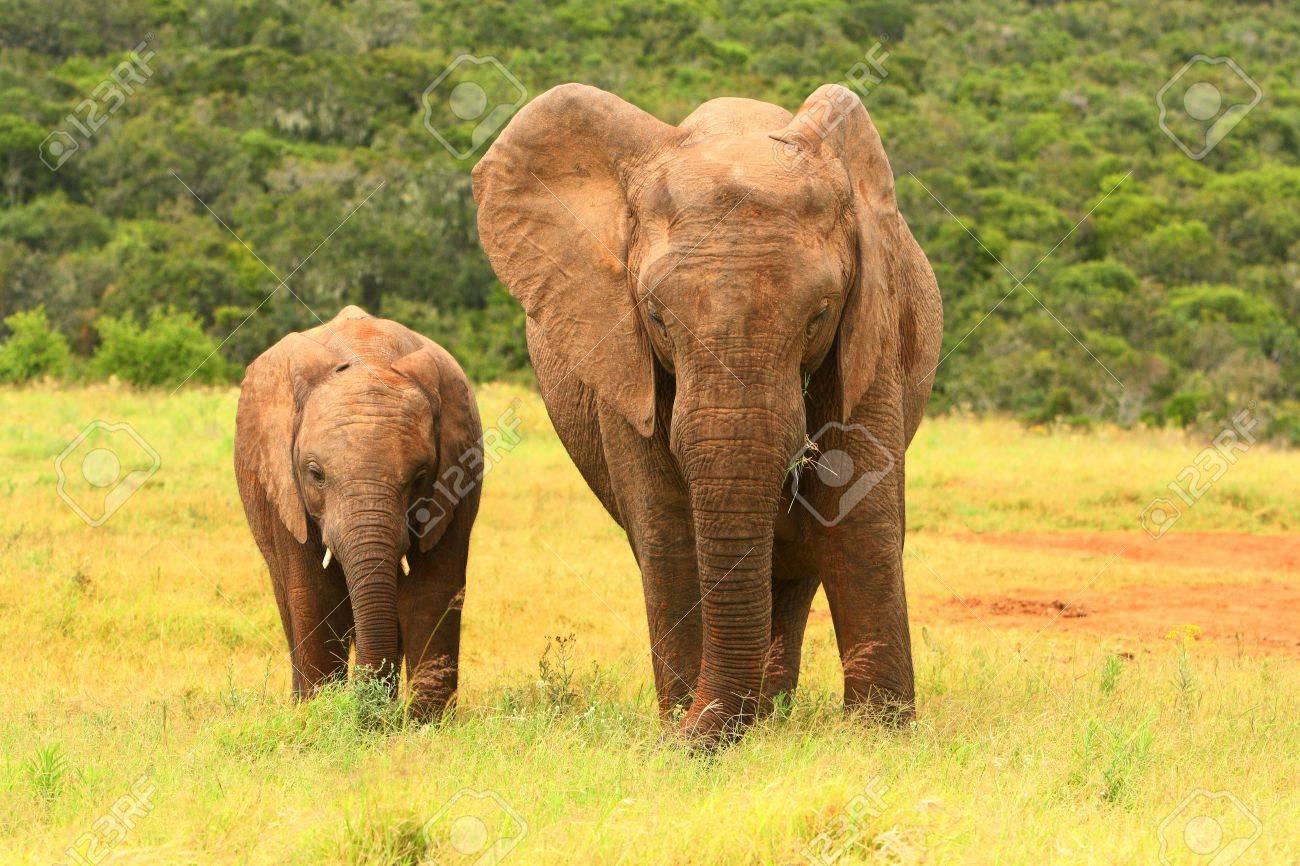 Gemütlich Afrikanische Elefanten Malvorlagen Ideen - Beispiel ...