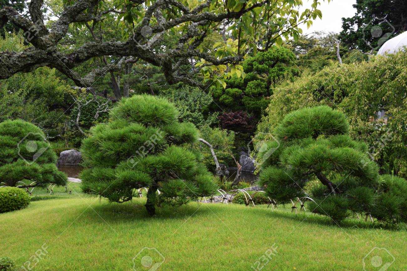 Pine Tree In Japanese Garden Stock Photo Picture And Royalty Free