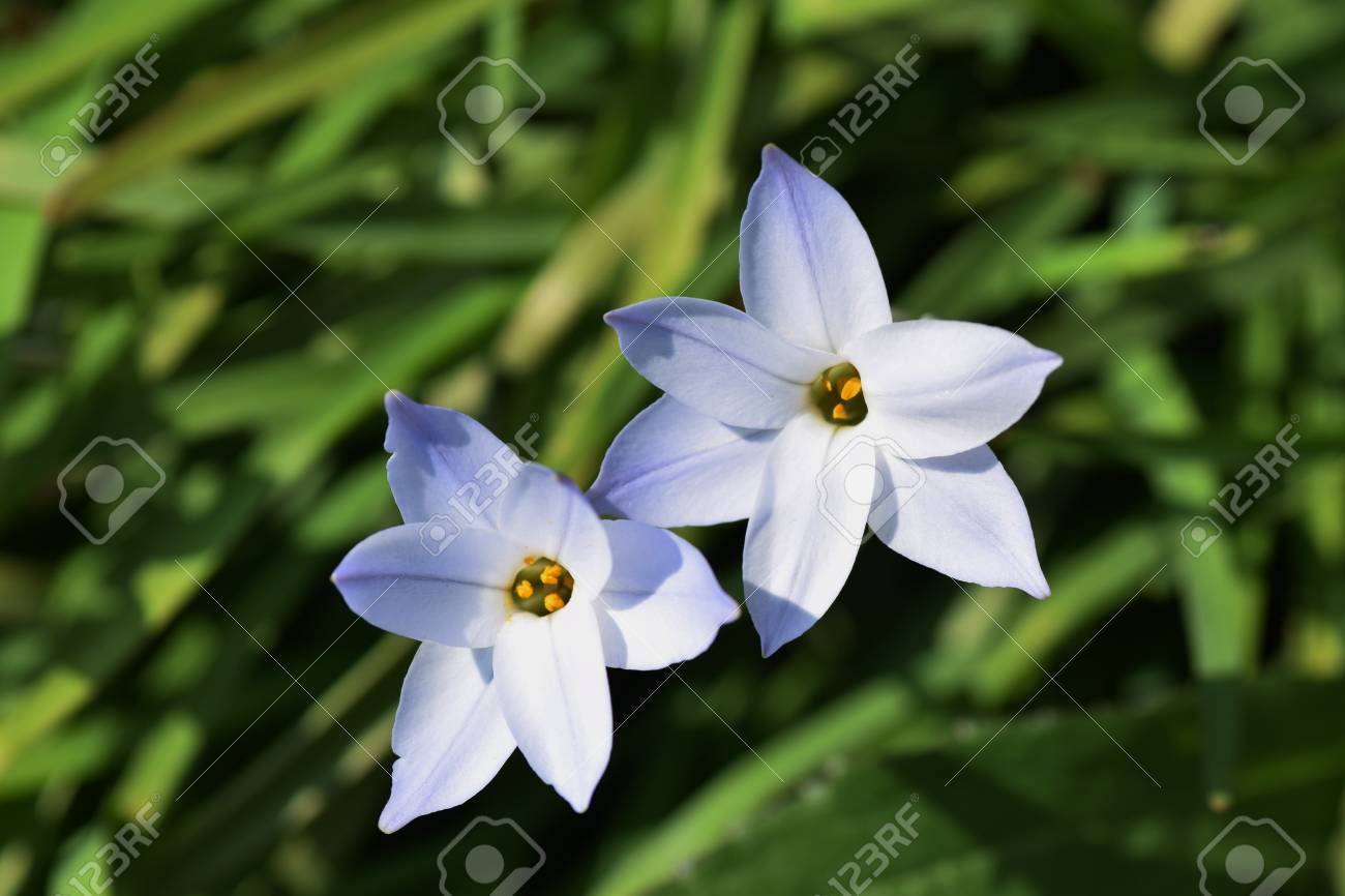 Spring Starflower Stock Photo Picture And Royalty Free Image Image