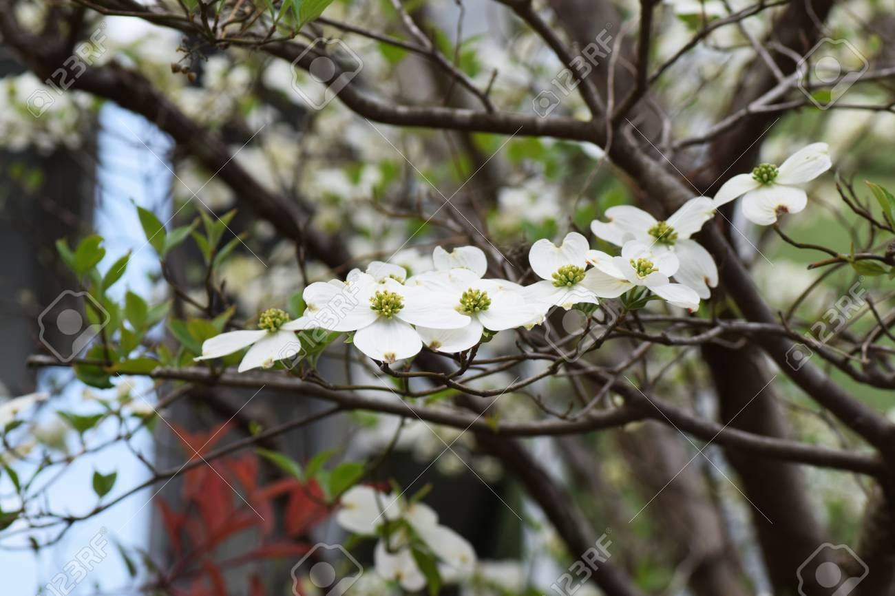 Flowering Dogwood Flowers Stock Photo Picture And Royalty Free