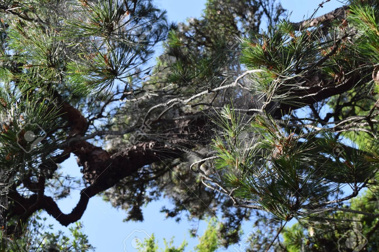 A Weeping Japanese Red Pine Tree Lizenzfreie Fotos Bilder Und Stock