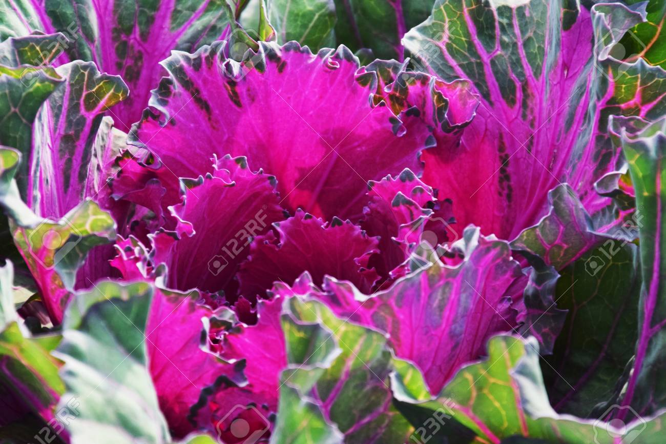 Ornamental Cabbage Flowering Kale Stock Photo Picture And