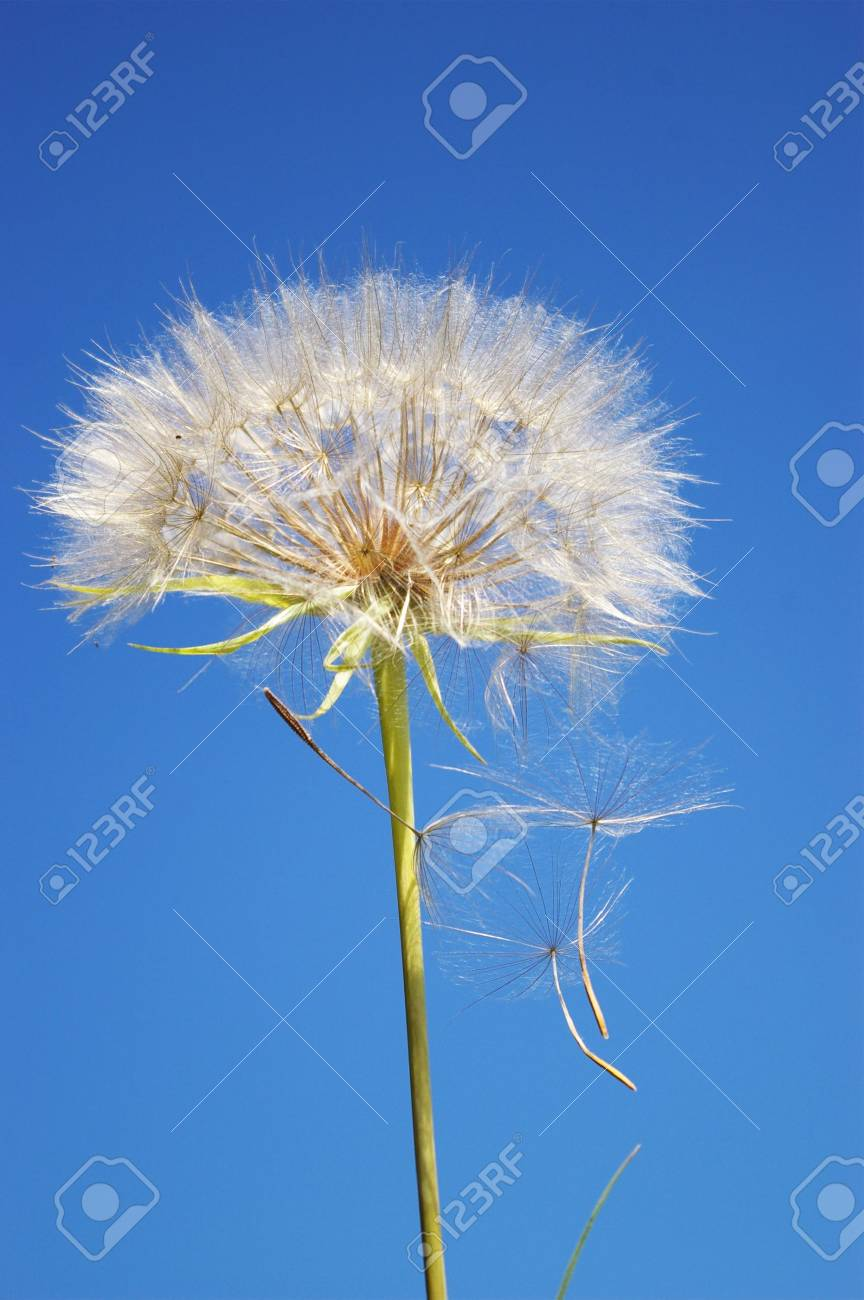 Beautifull blowball and seeds in blue sky Stock Photo - 3295107