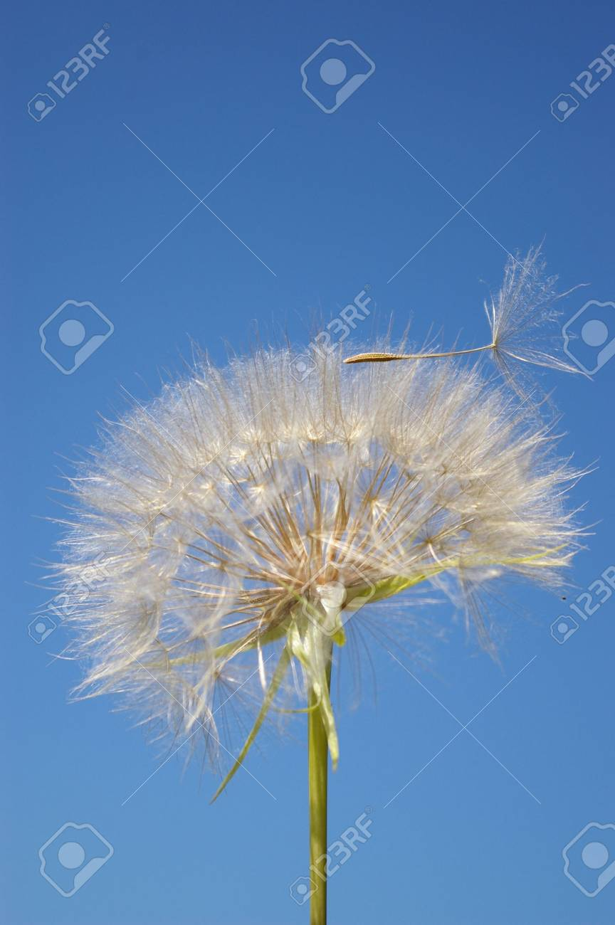Beautifull blowball and seeds in blue sky Stock Photo - 3295104
