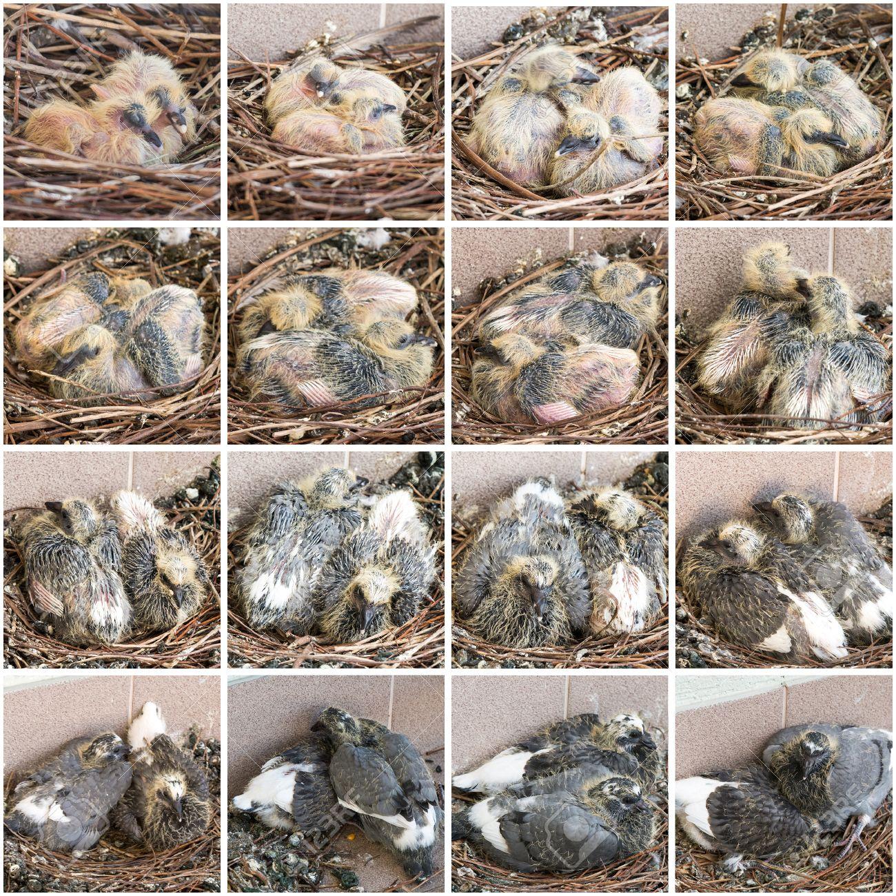 37923820-tapes-de-la-croissance-des-poussins-pigeons-de-la-naissance-à-2-semaines.jpg