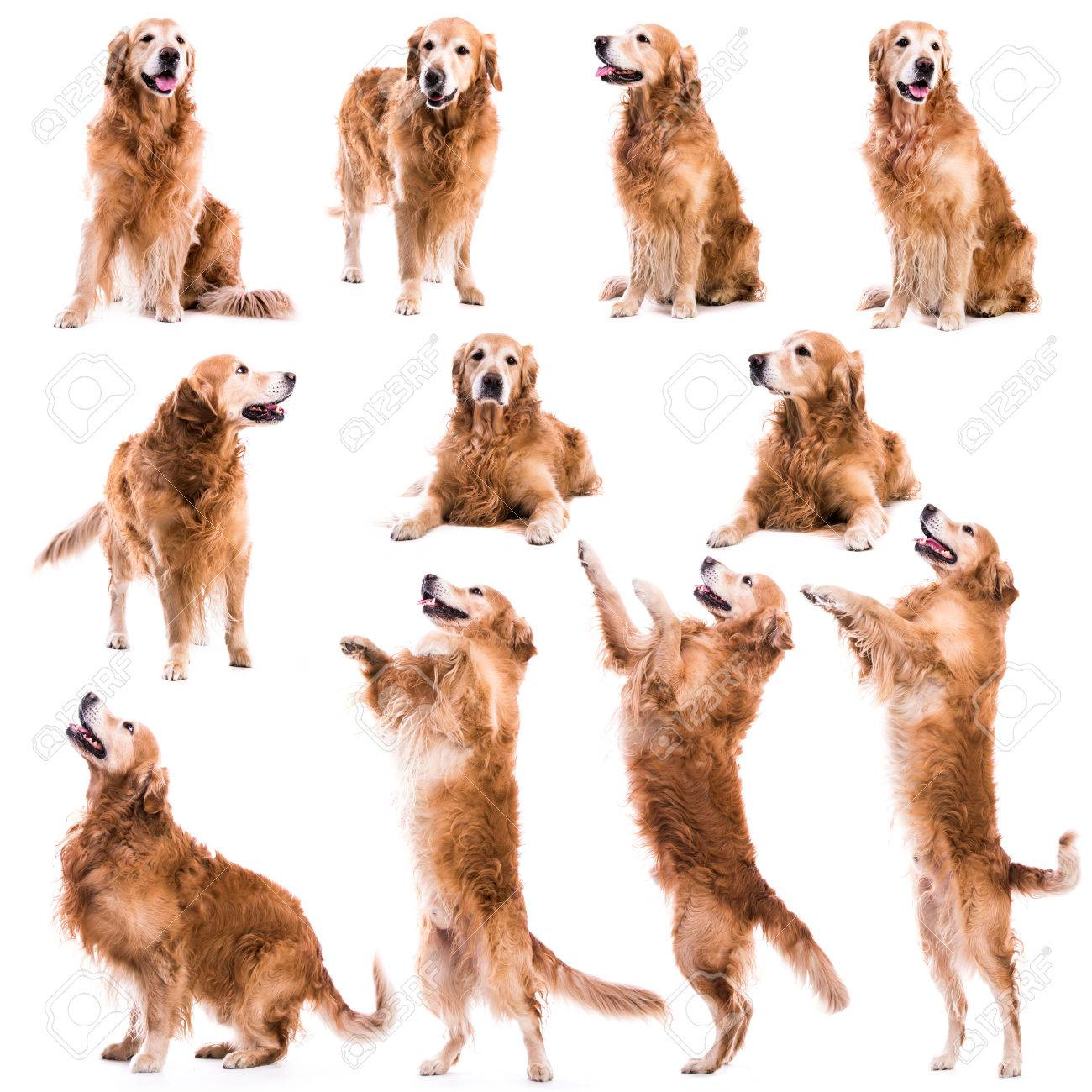 photo collage of Retriever on a white background - 38428205