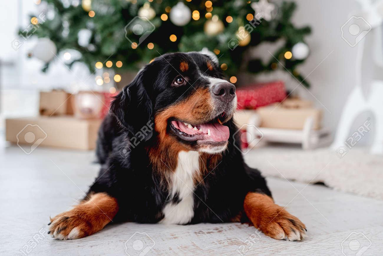 Dog near christmas tree at home - 172489971