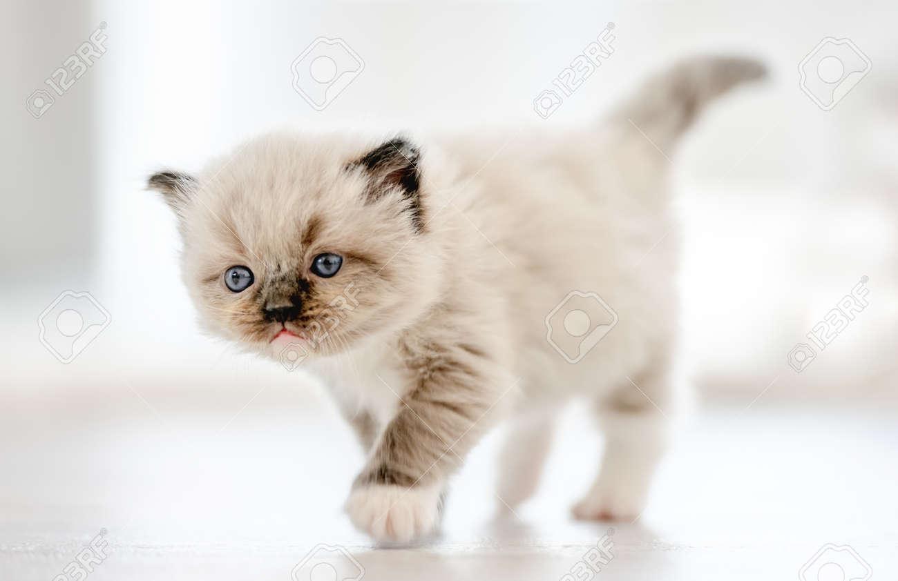 Ragdoll kitten isolated on white background - 172749603