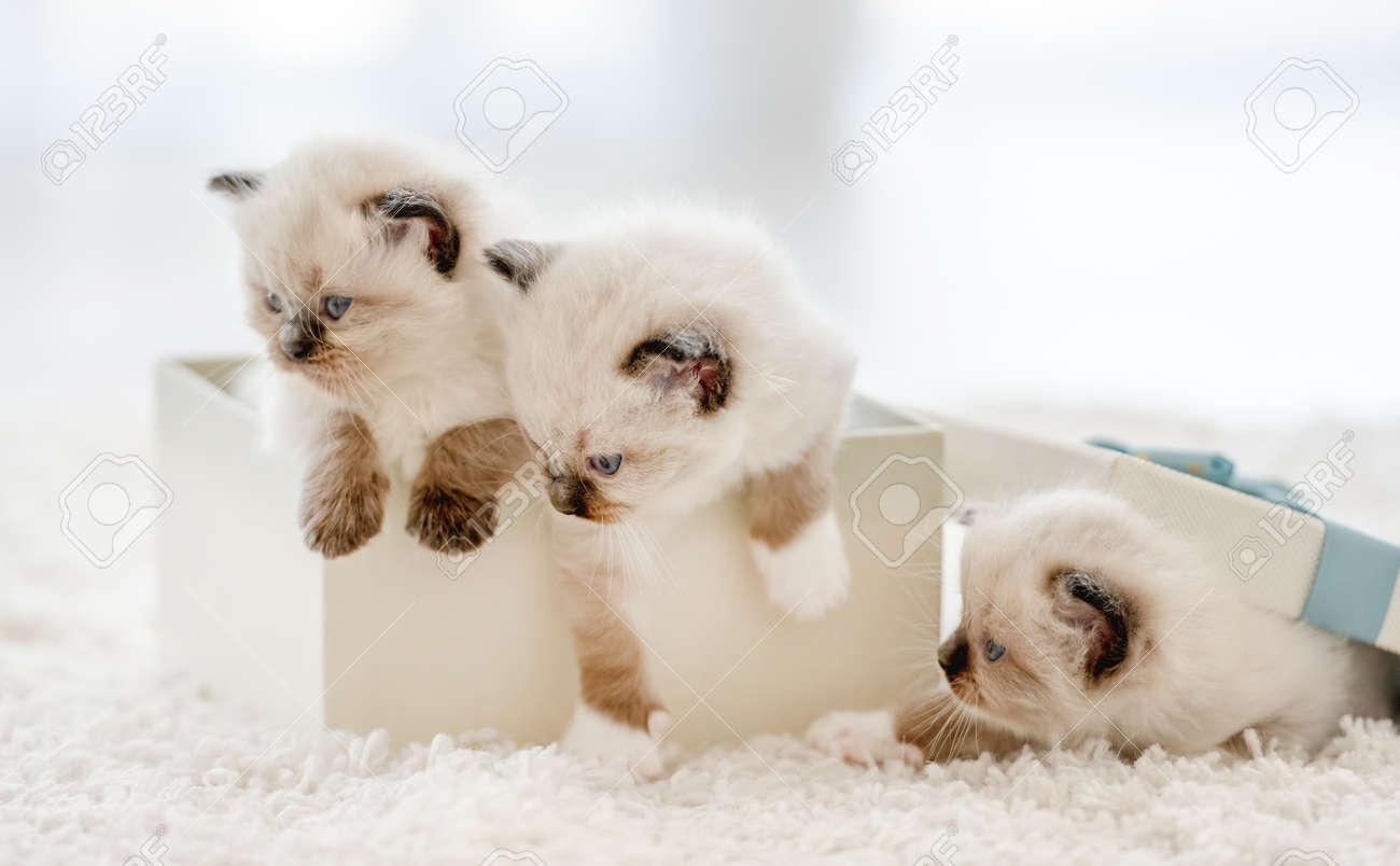 Ragdoll kittens in a gift box - 172872130