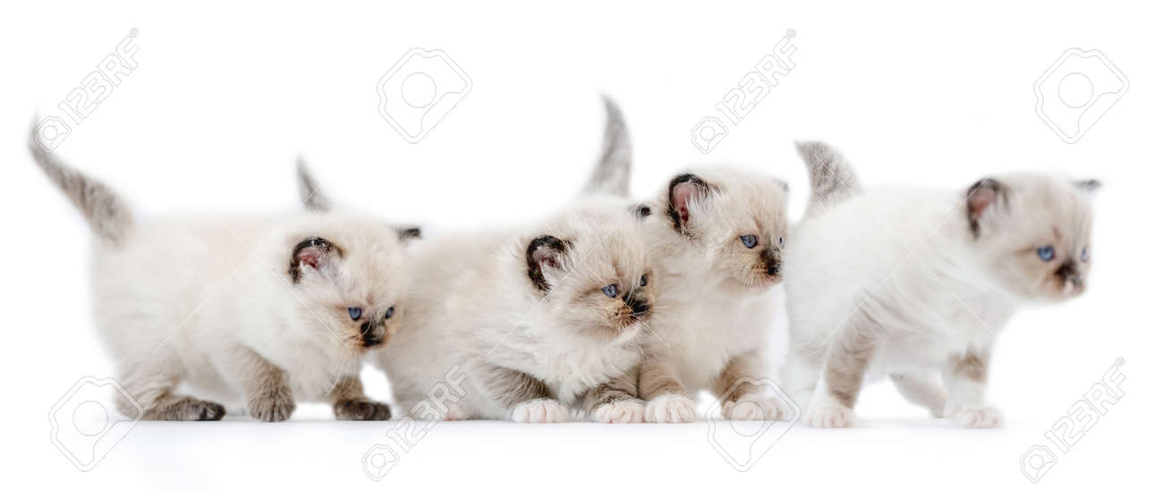 Ragdoll kittens isolated on white background - 172749741