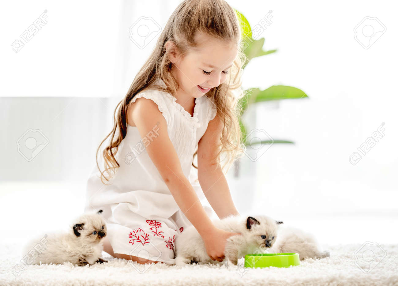 Girl with ragdoll kittens - 173455737