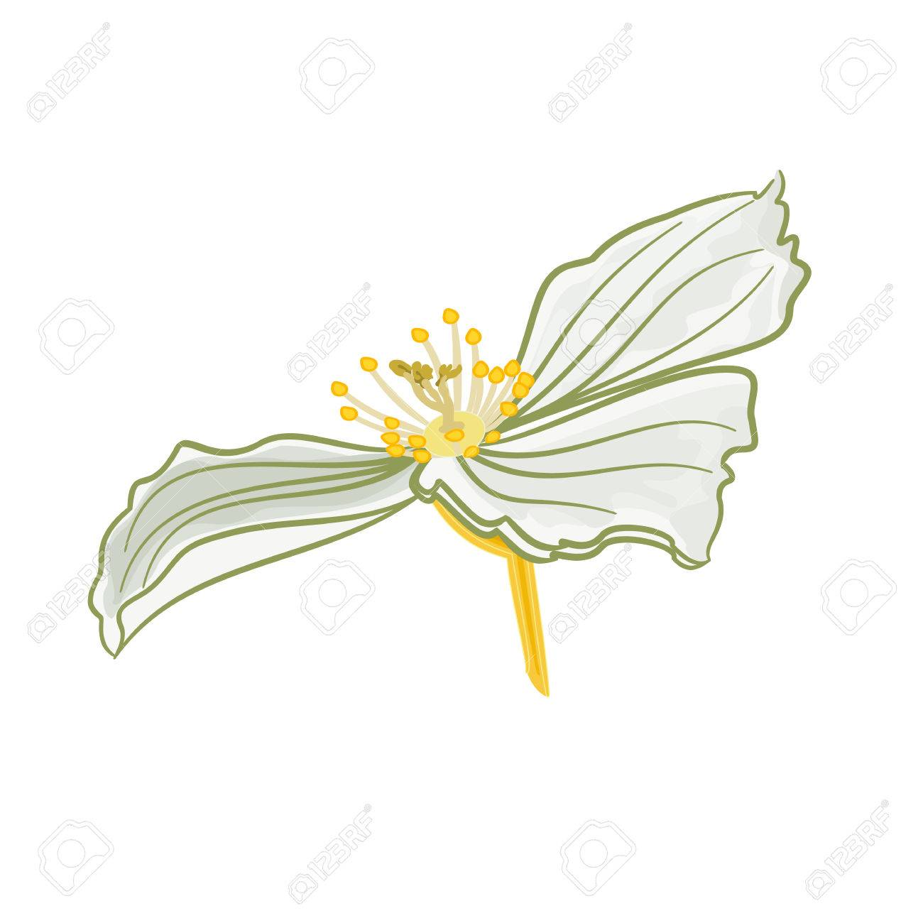 Jasmine Flower White Isolated On A White Background Vector Royalty