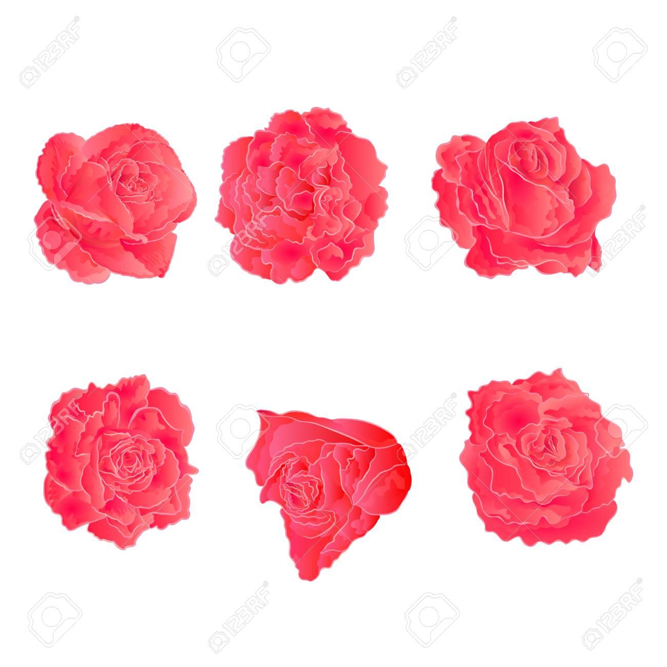 Blossom Pink Roses Symbol Of Love Vector Illustration Royalty Free