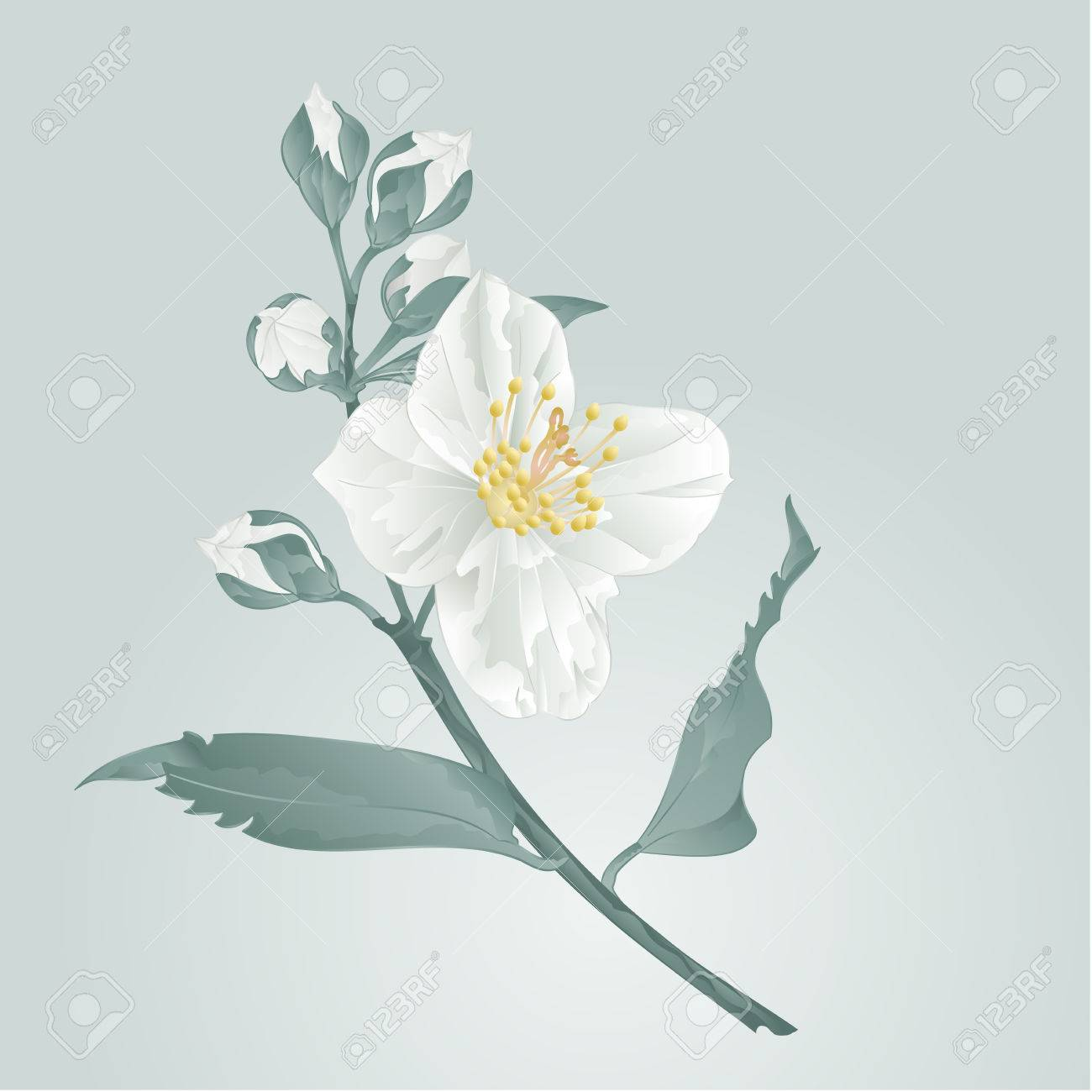 Flower Twig Jasmine Flower And Buds Vector Illustration Royalty Free