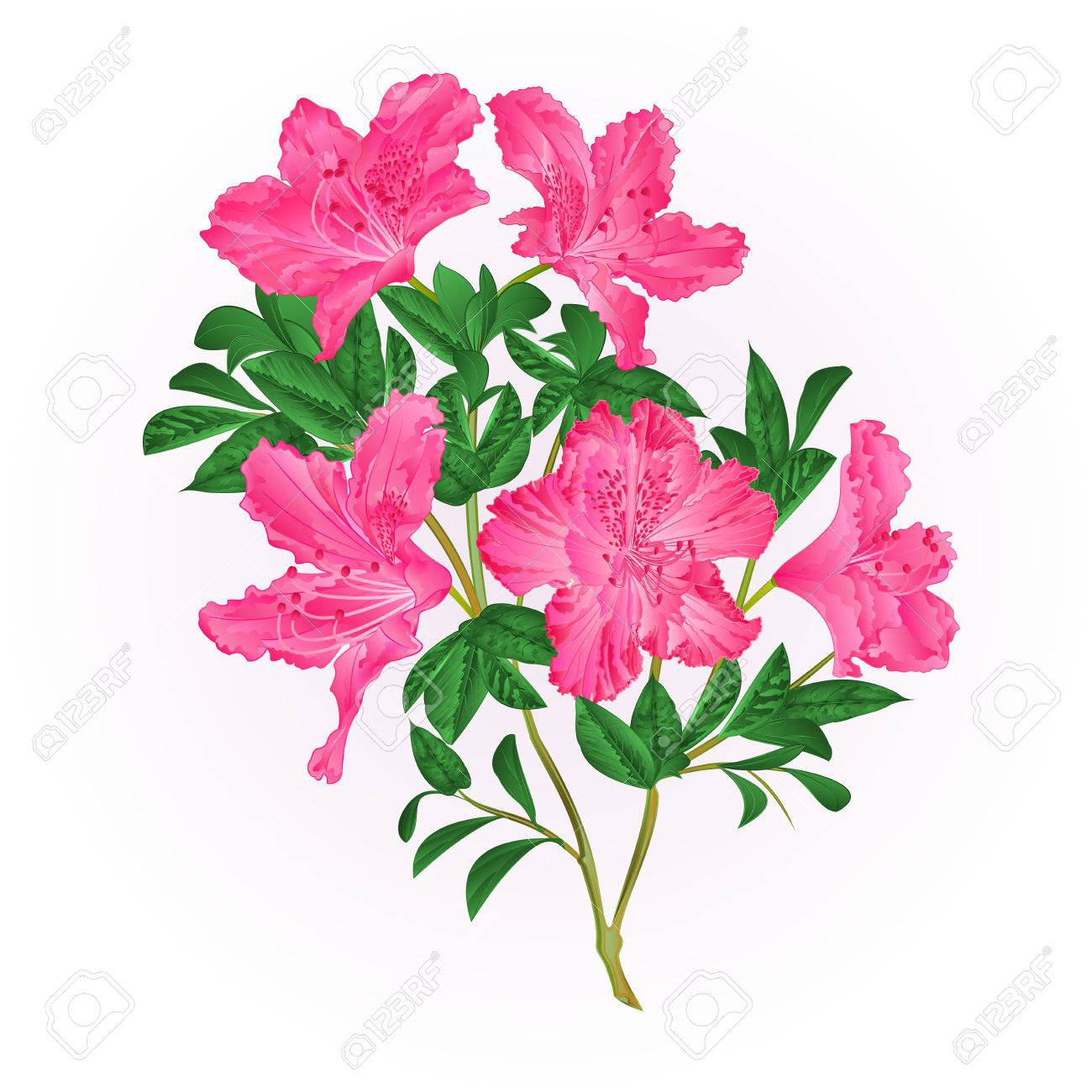 Pink flowers rhododendron twig with leaves mountain shrub vintage pink flowers rhododendron twig with leaves mountain shrub vintage hand draw vector illustration stock vector mightylinksfo