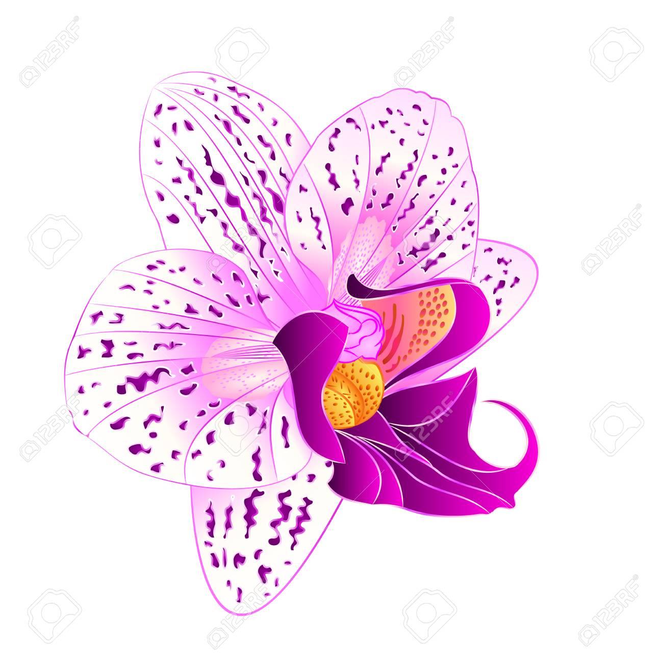 Purple And White Orchid Phalaenopsis Beautiful Flower Closeup