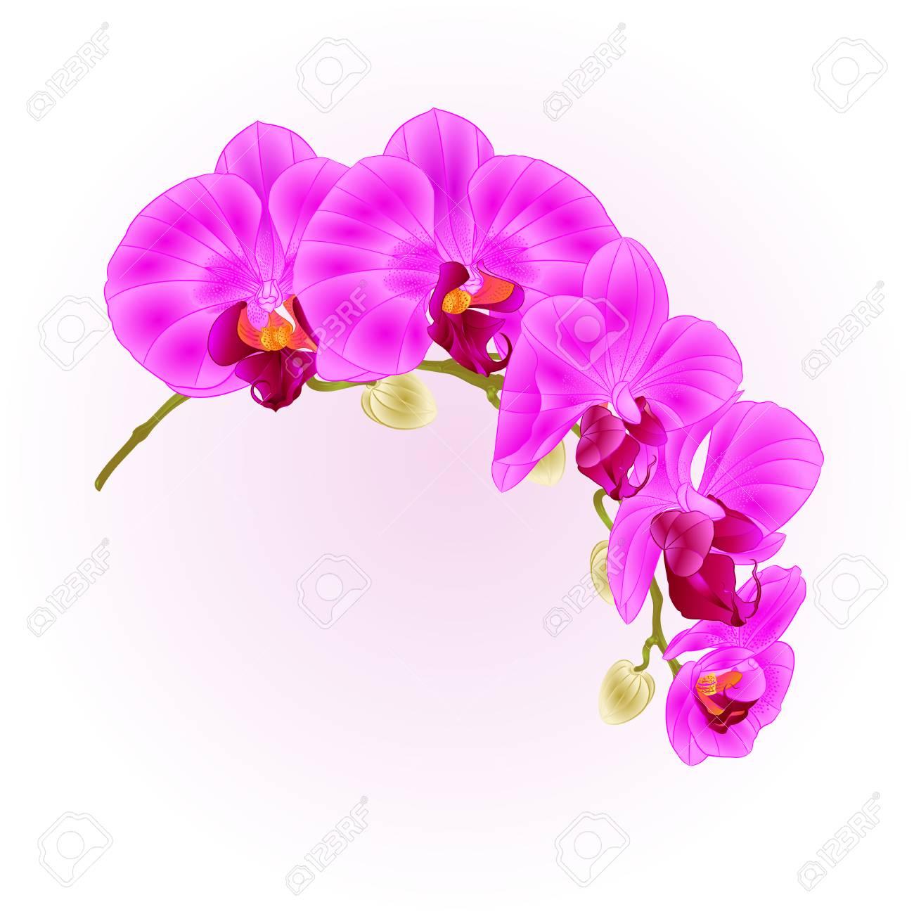 Beautiful phalaenopsis orchid purple stem with flowers and buds beautiful phalaenopsis orchid purple stem with flowers and buds closeup vintage isolated vector editable illustration hand mightylinksfo