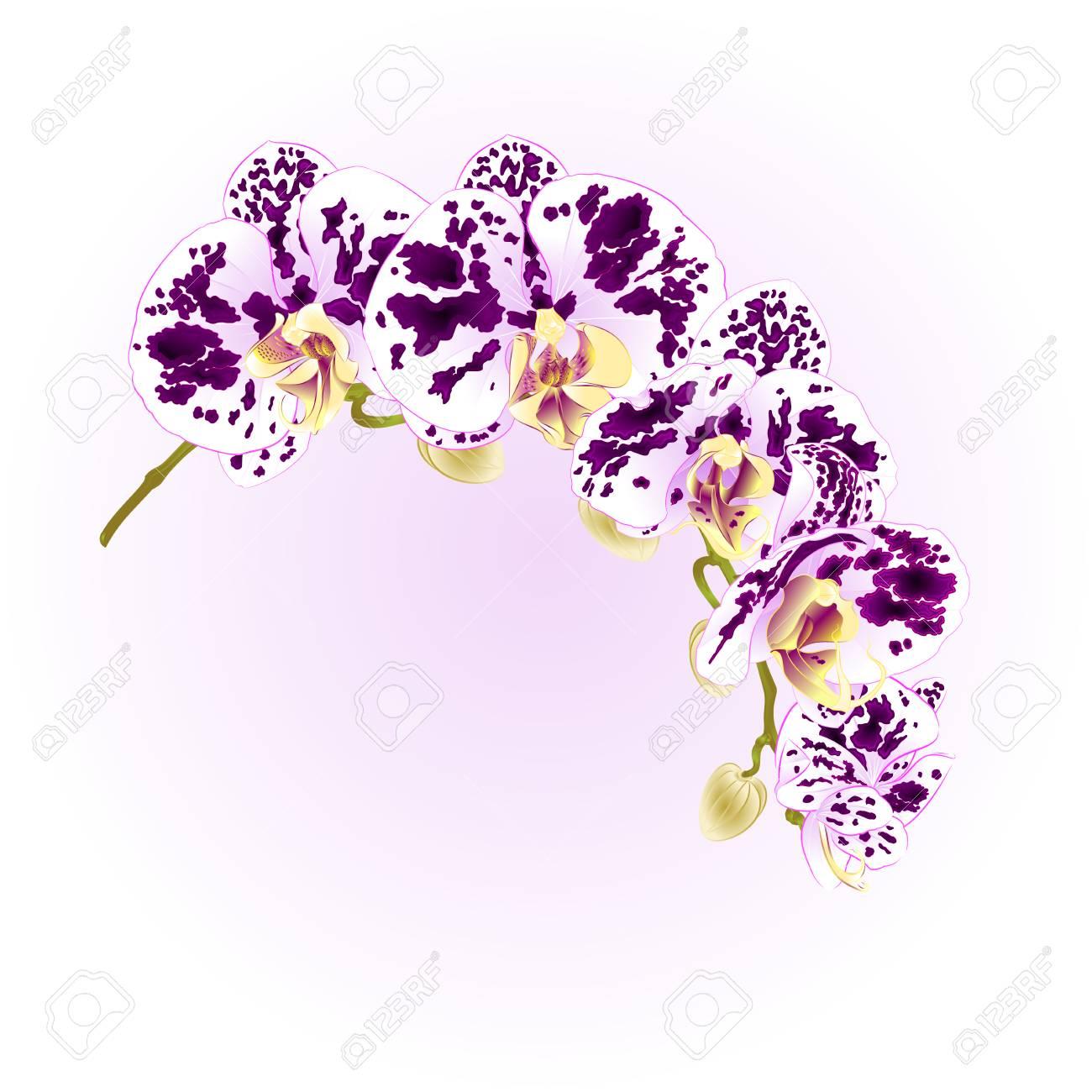 美しい分離胡蝶蘭ベクトル イラストのイラスト素材ベクタ Image