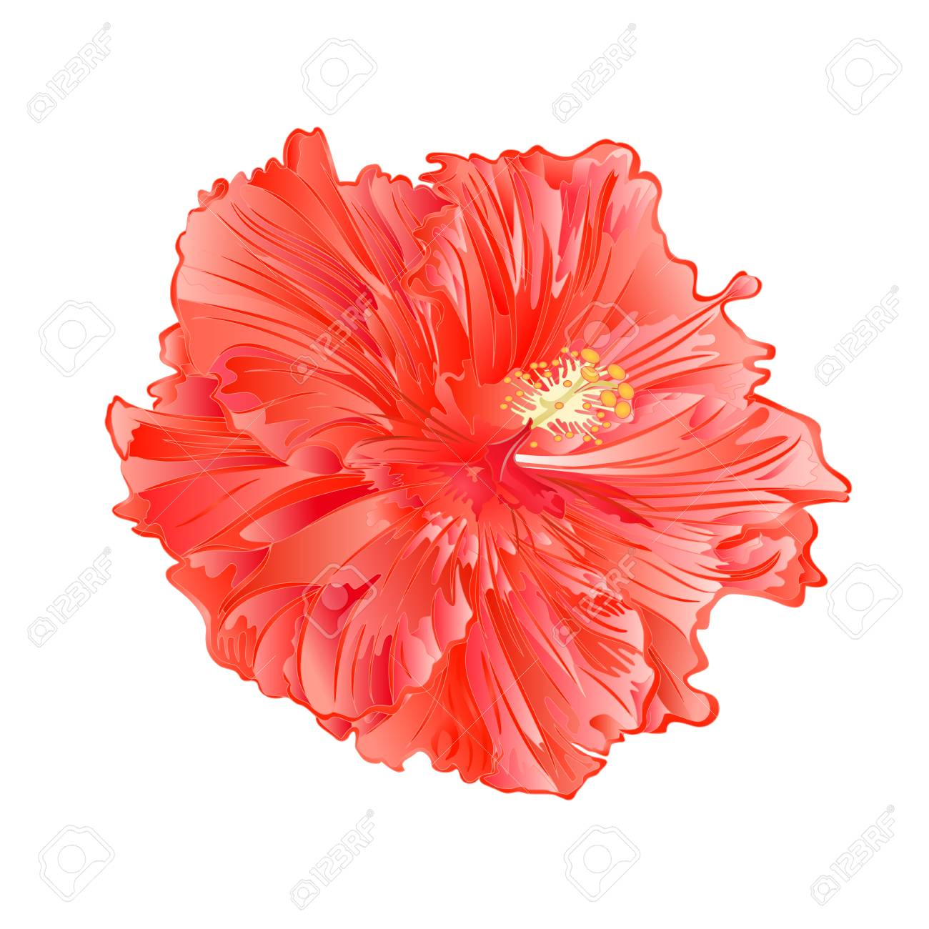 Flower Pink Hibiscus Tropical Plant On A White Background Royalty