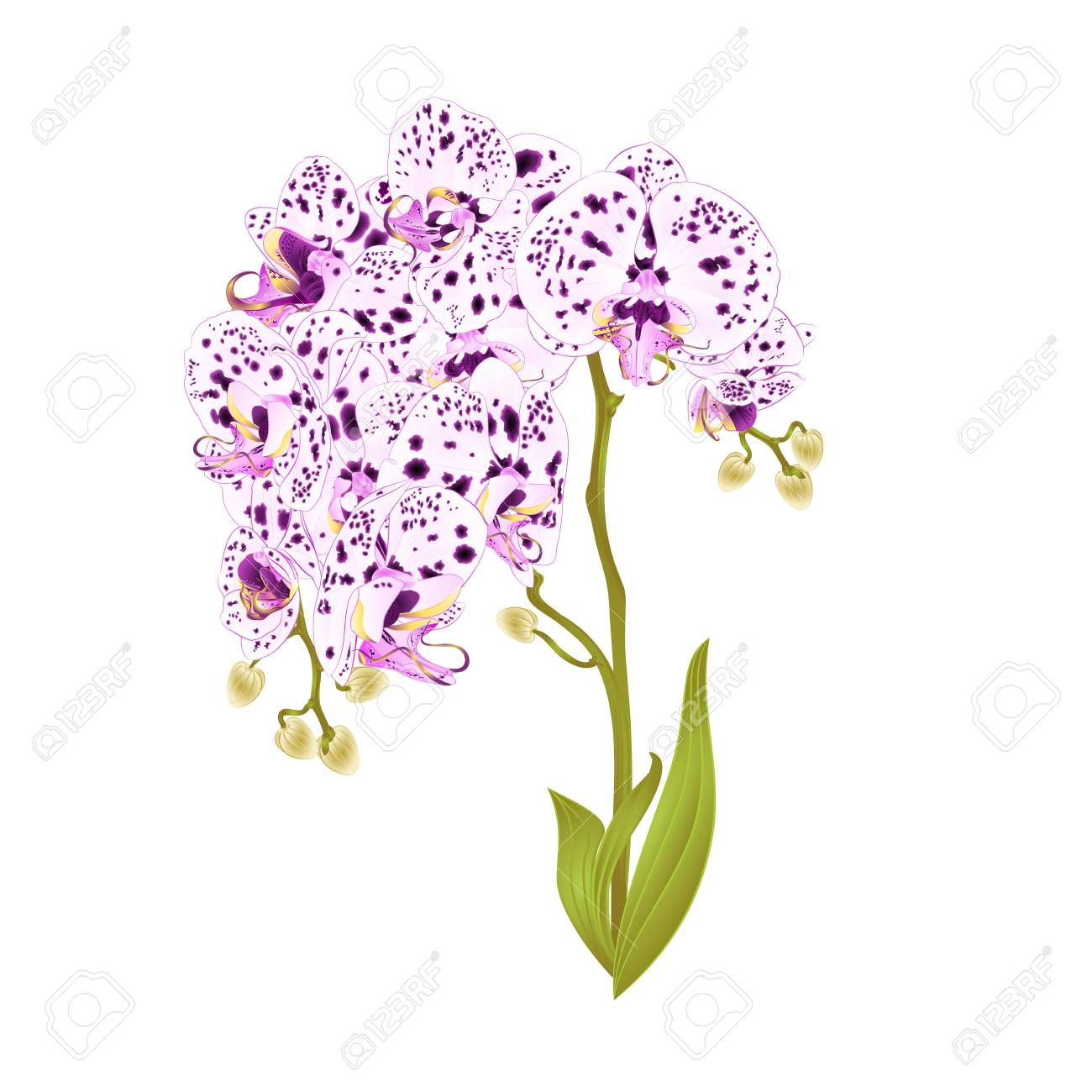 Branches Of Orchid Phalaenopsis With Dots Of Purple And White