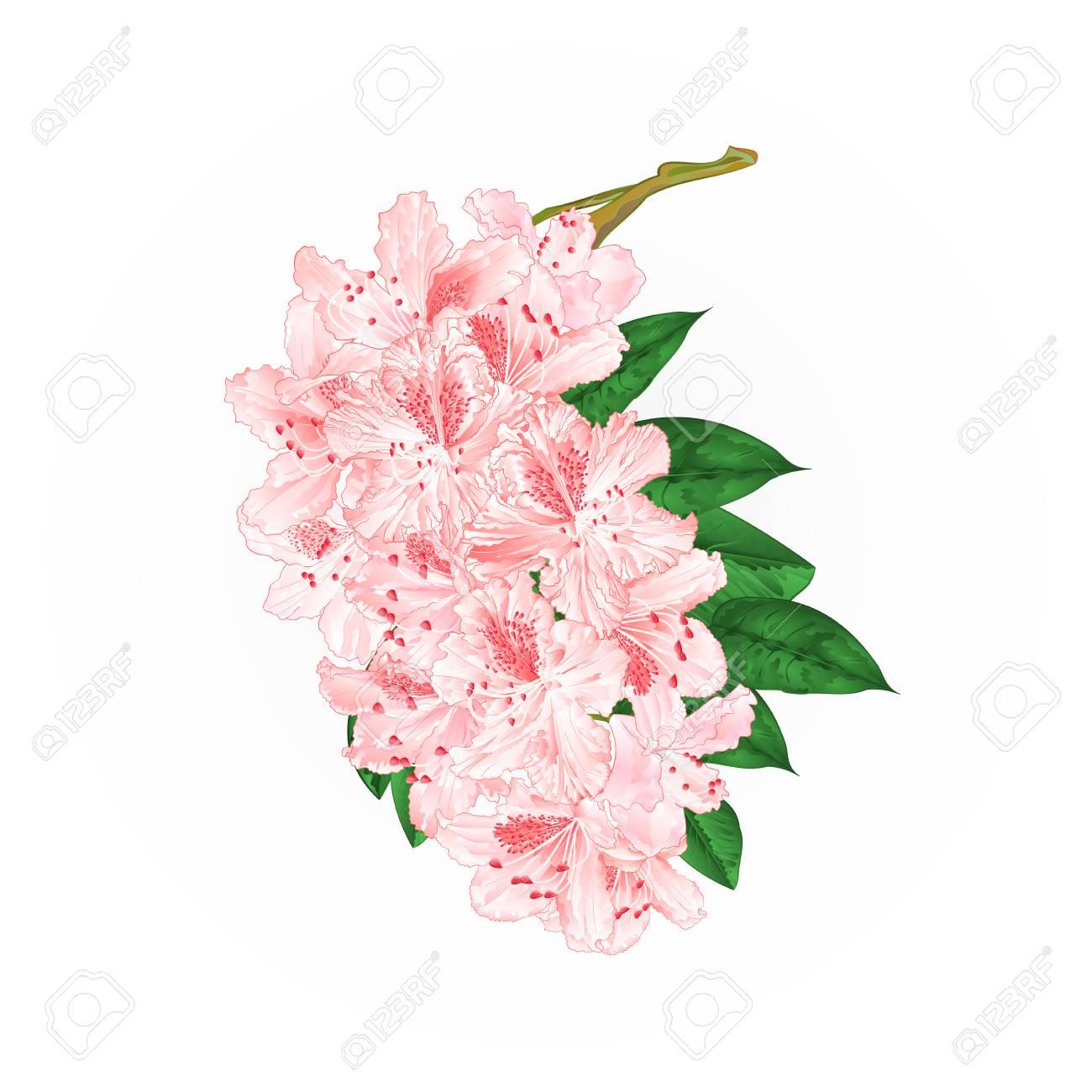Branch Light Pink Flowers Stock Photography Illustration Royalty