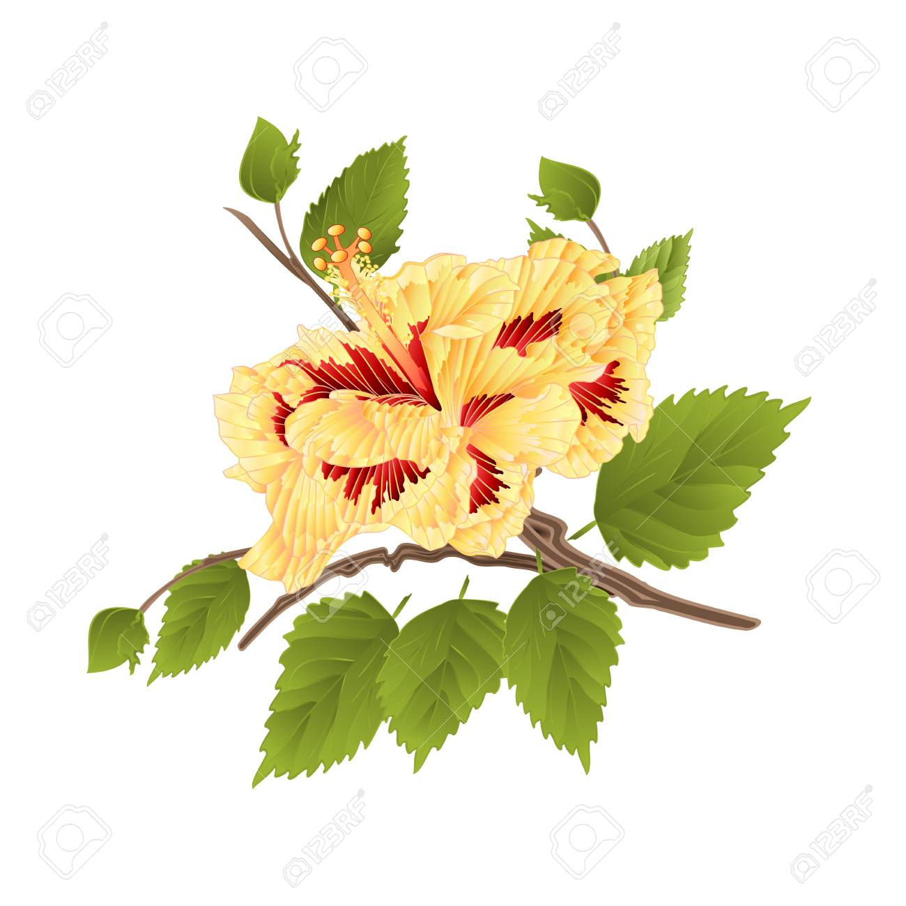 Flower Yellow Hibiscus Tropical Plant On A White Background