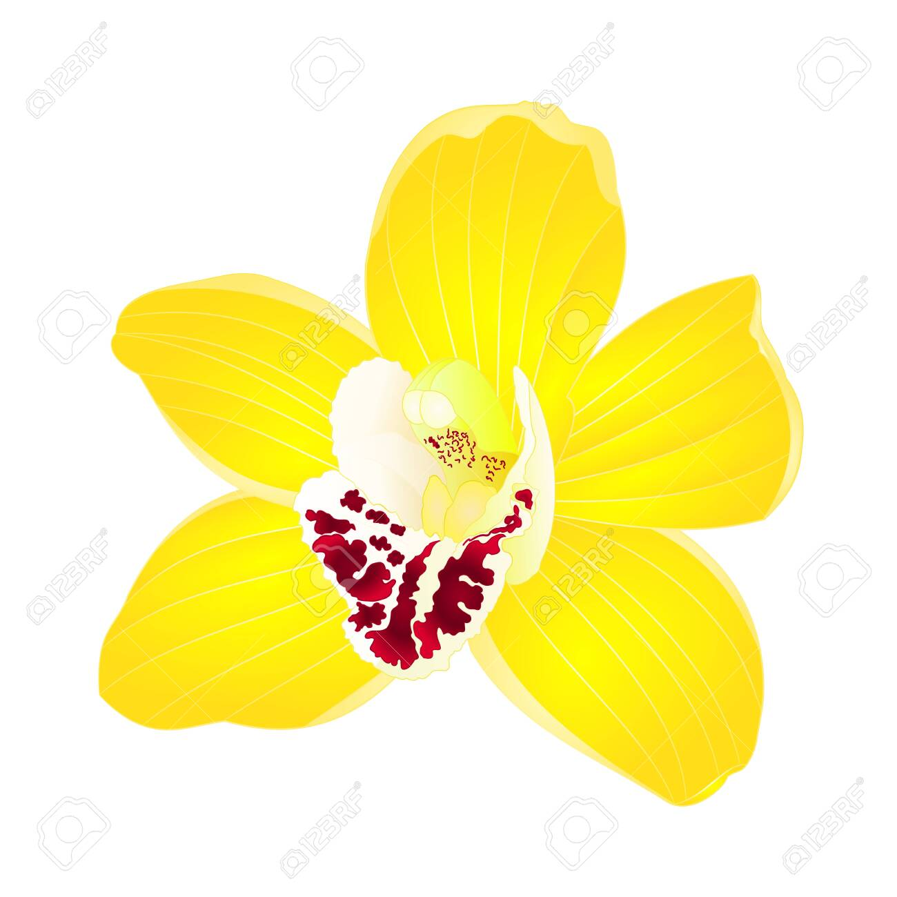 Tropical Orchid Cymbidium Yellow Flower Realistic On White Background Royalty Free Cliparts Vectors And Stock Illustration Image 123815521